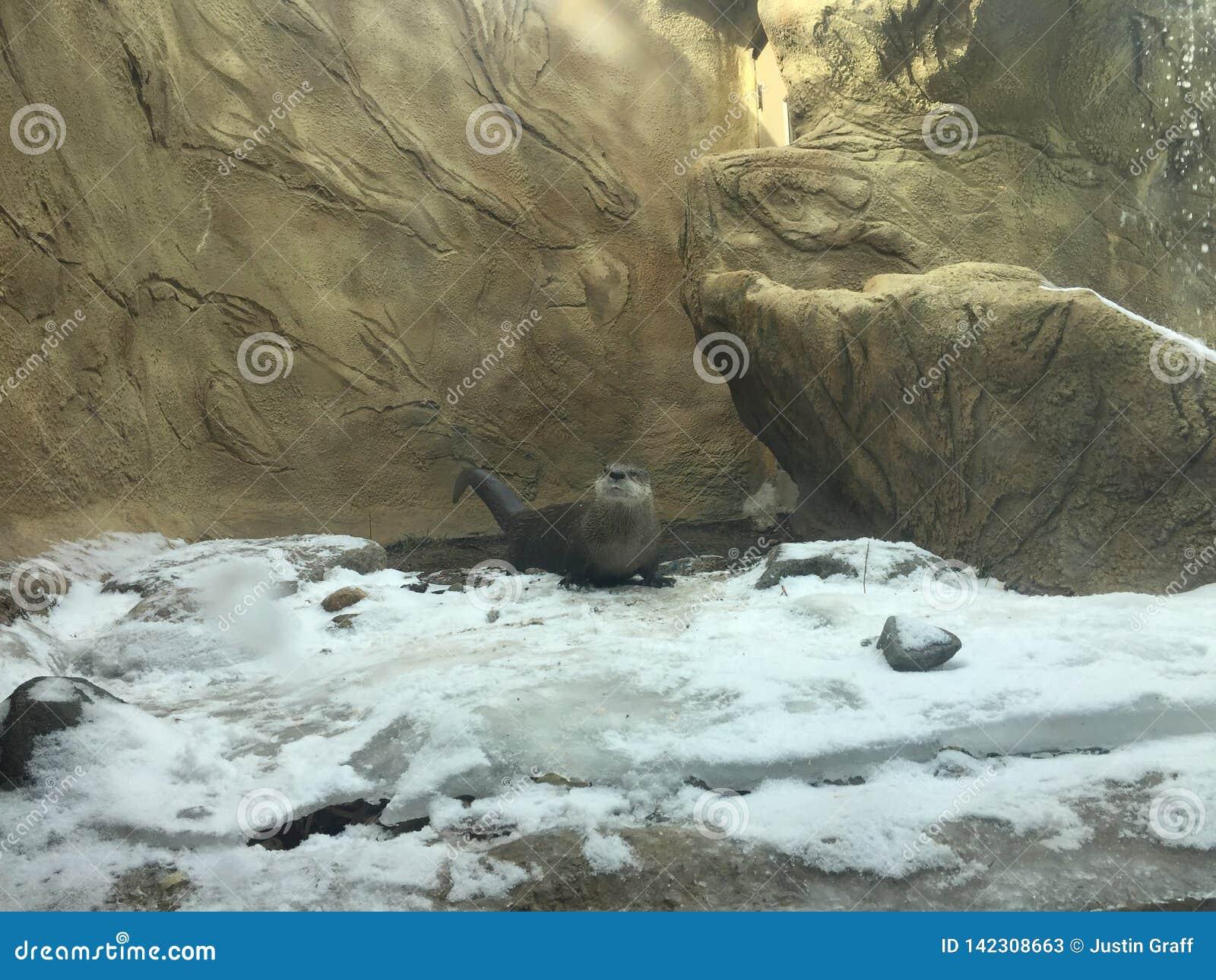 Lontra de rio que explora a costa nevado com um córrego e a cachoeira ao lado dela
