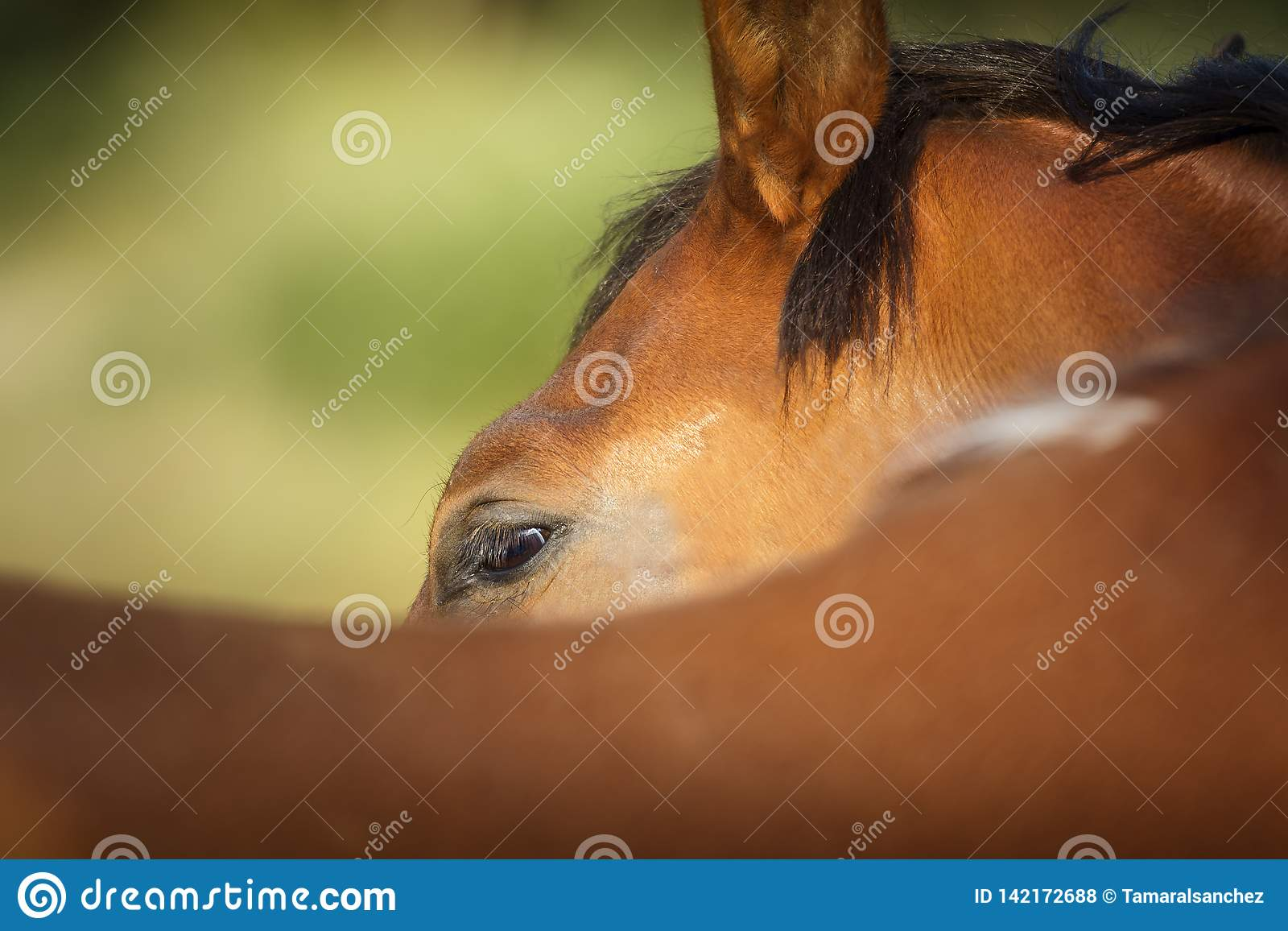Look of a chestnut horse photographed from behind its rump with green background