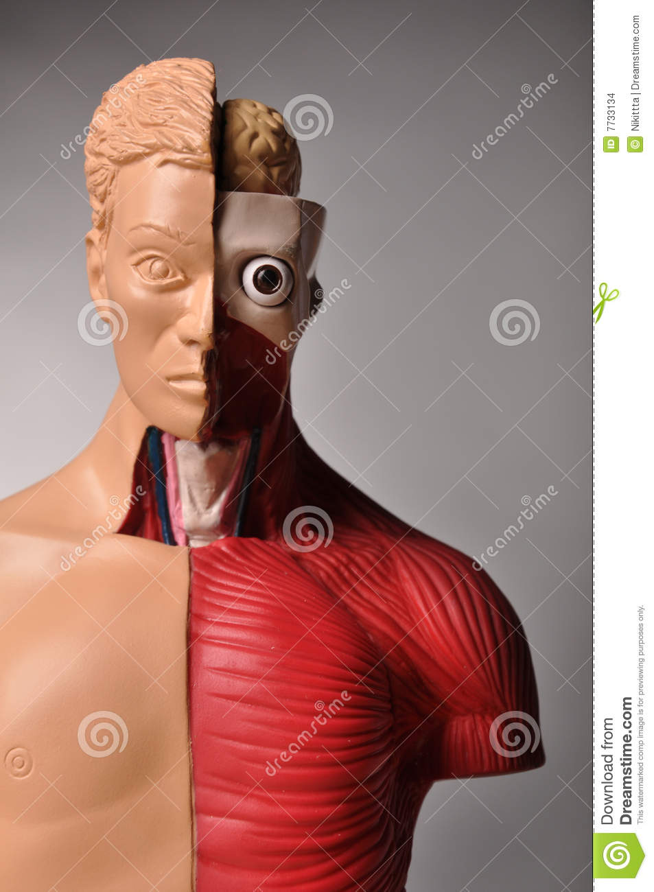 Look Inside Body Human Anatomy Stock Photo Image Of Away Lungs