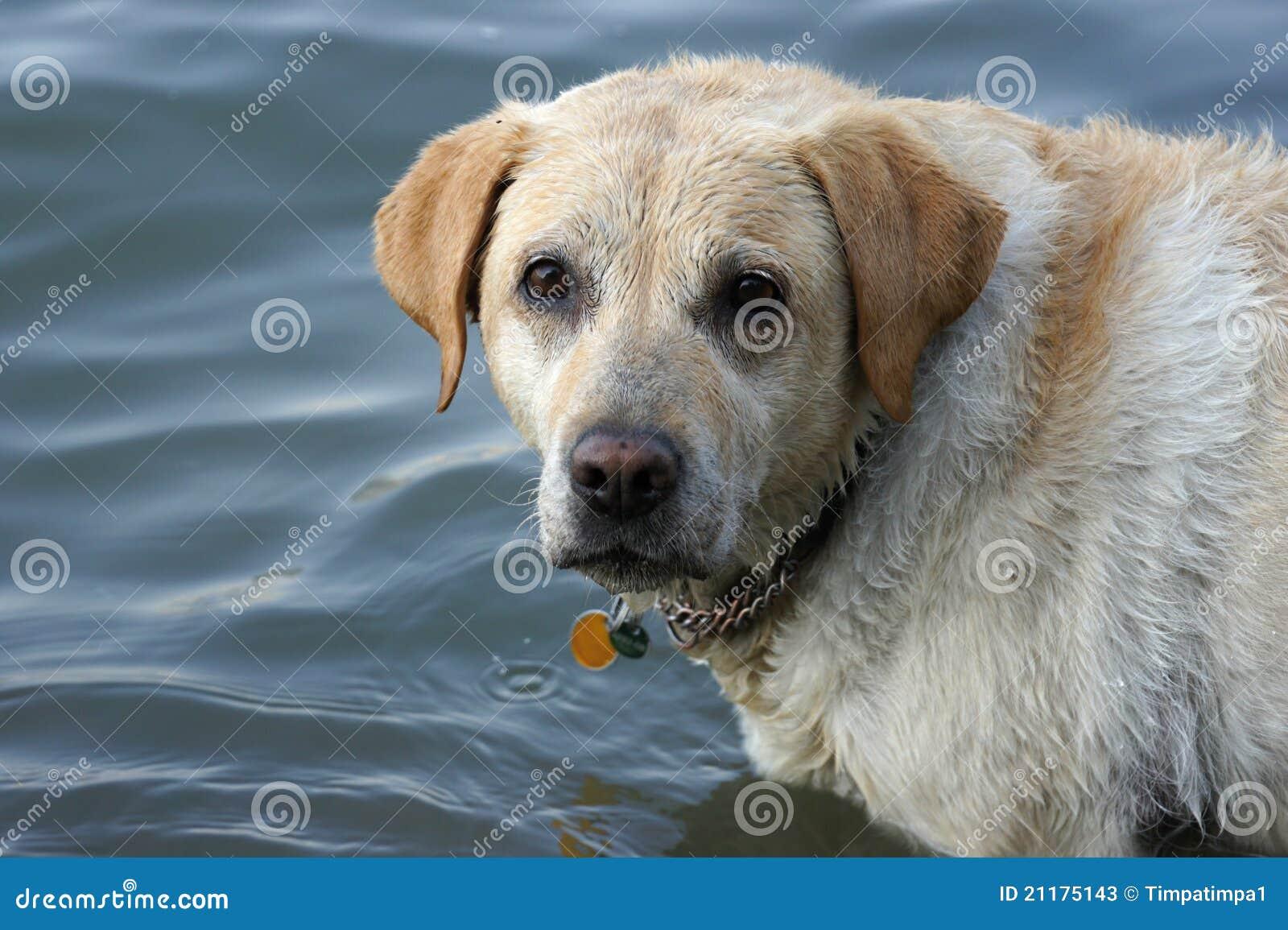 Look of labrador retriever.