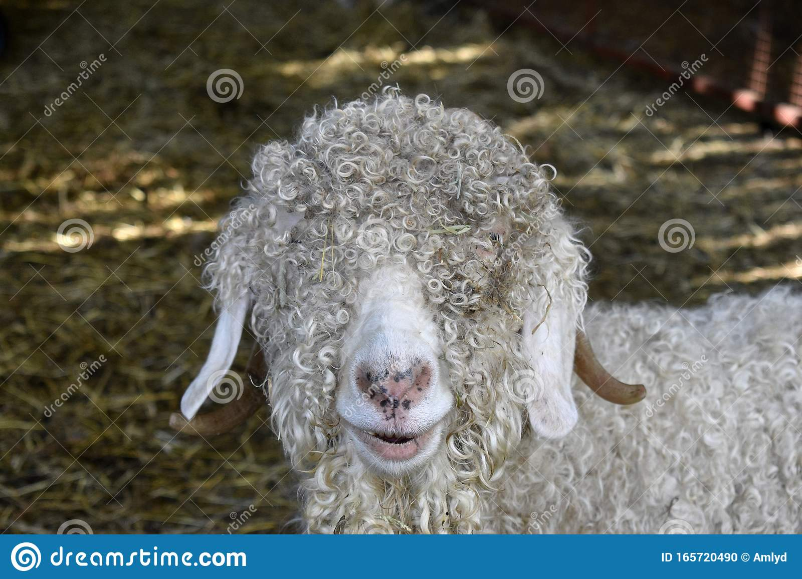 17 Angora Goat High Res Illustrations - Getty Images