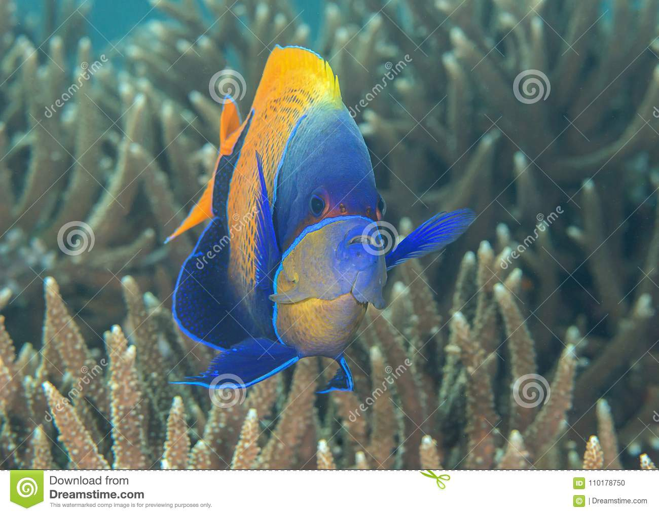 Looking at me.Closeup of a blueface or yellowface angelfish, Pomacanthus xanthometopon swimming over corals of Bal