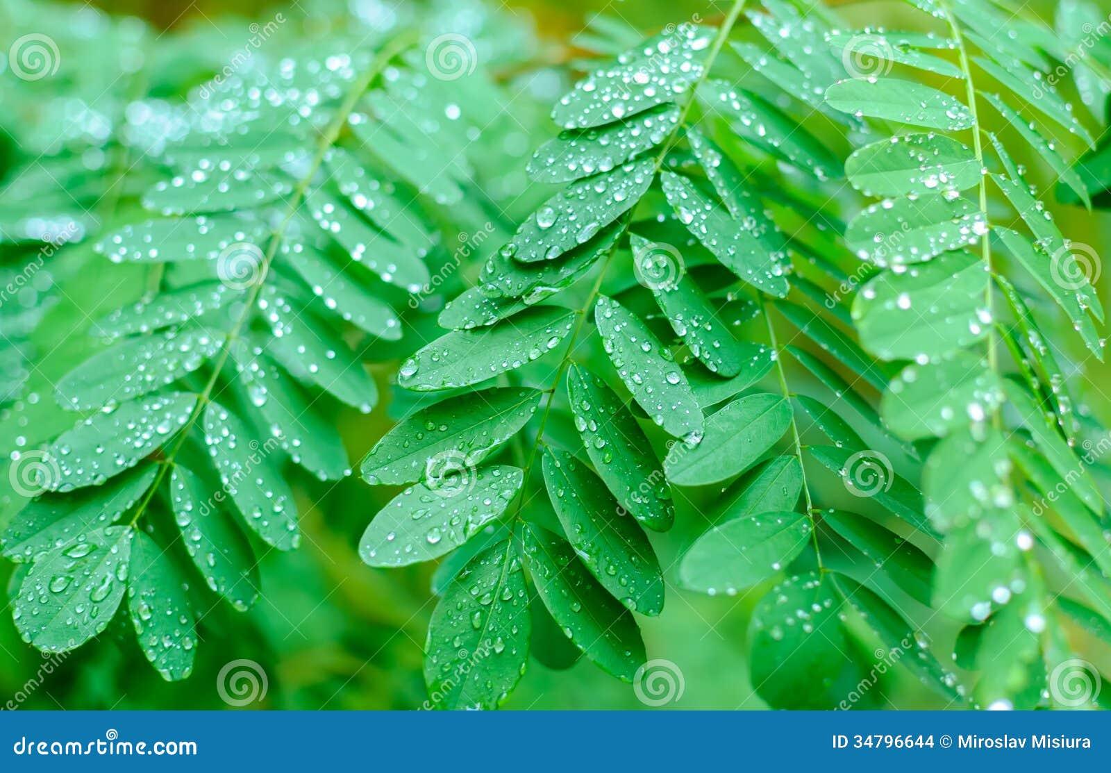 Looking Up At Acacia Tree Branches Stock Photo Image Of Season