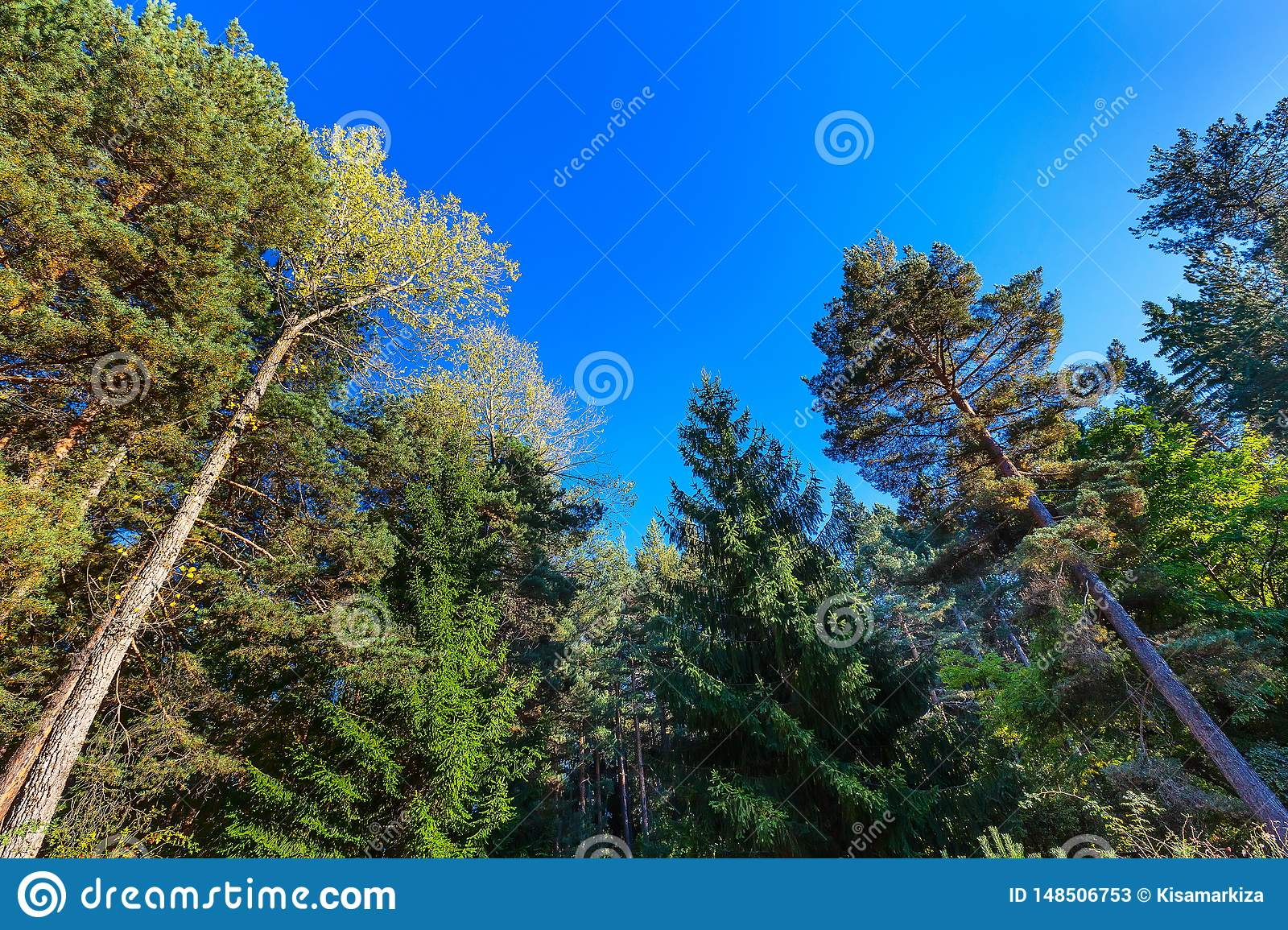 Looking up autumn trees forest background