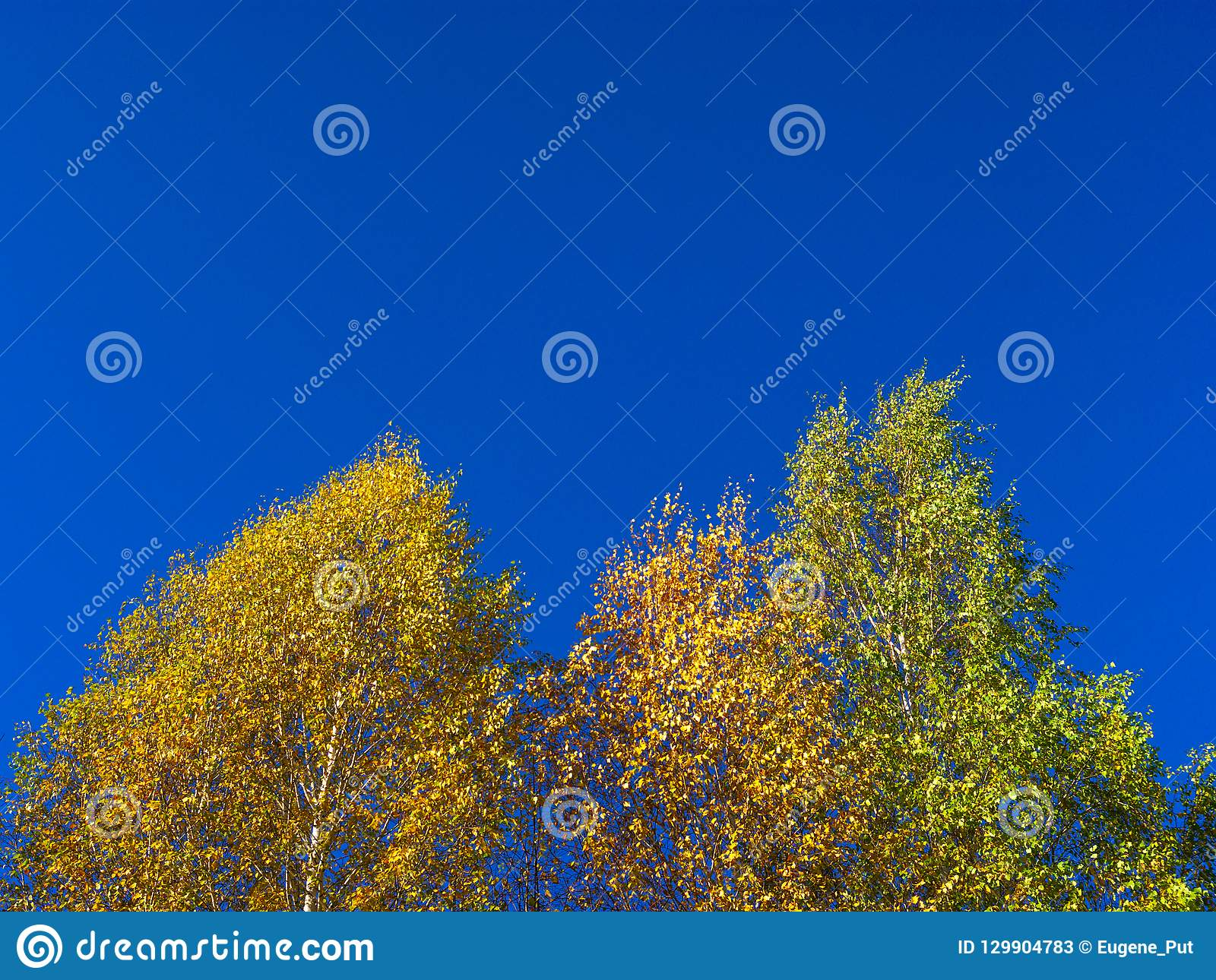 Looking Up The Birch Tree Tops Against Blue Sky On A Sunny Fall Day.