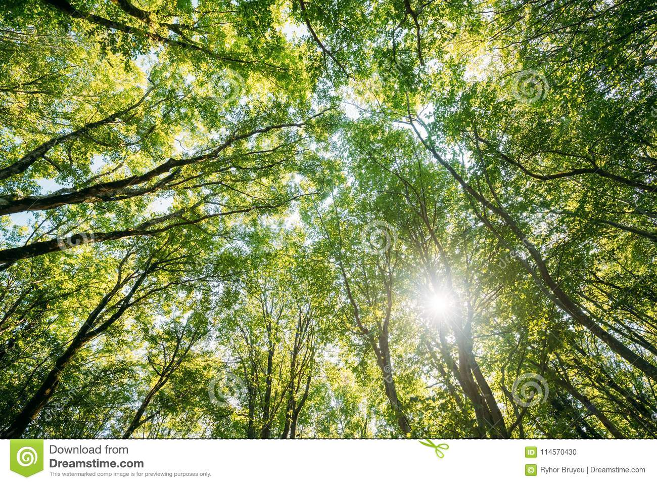 Looking Up In Summer Deciduous Forest Trees Woods To Canopy. Bottom View Wide Angle Background. Sun Shining Through Greenery Foliage In Green Forest & Summer Deciduous Forest Trees Woods Canopy. Bottom View Wide Angle ...