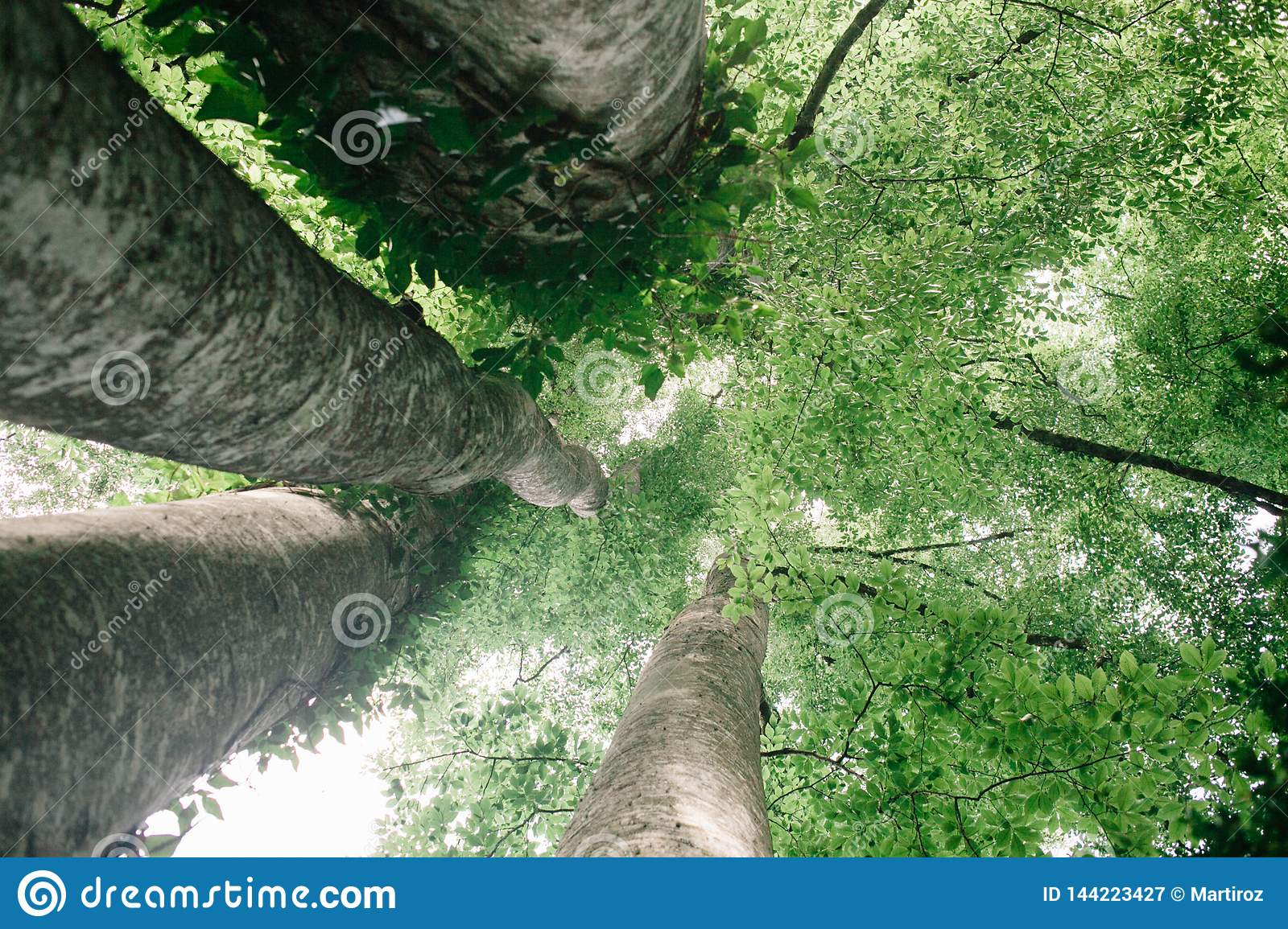 Looking up into Tall Beech Trees in Natural Forest