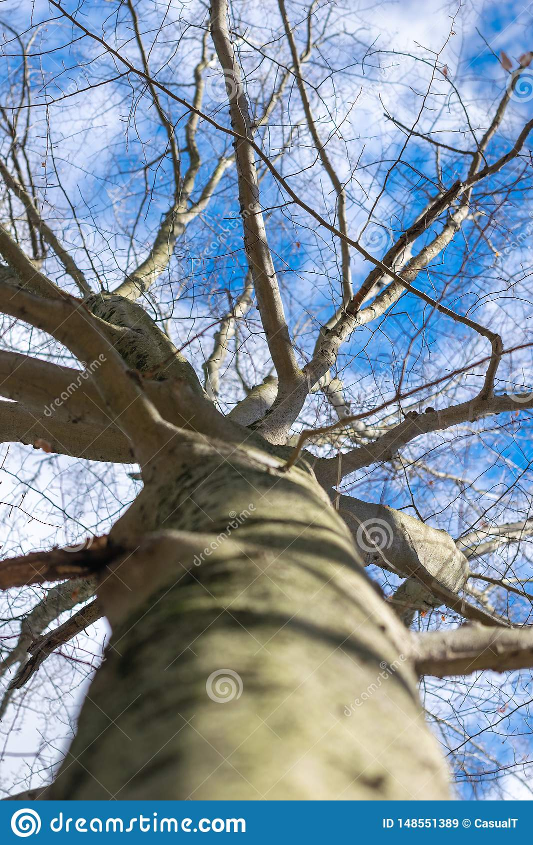 Looking up a tree trunk, toward leafless branches and a clear blue winter sky