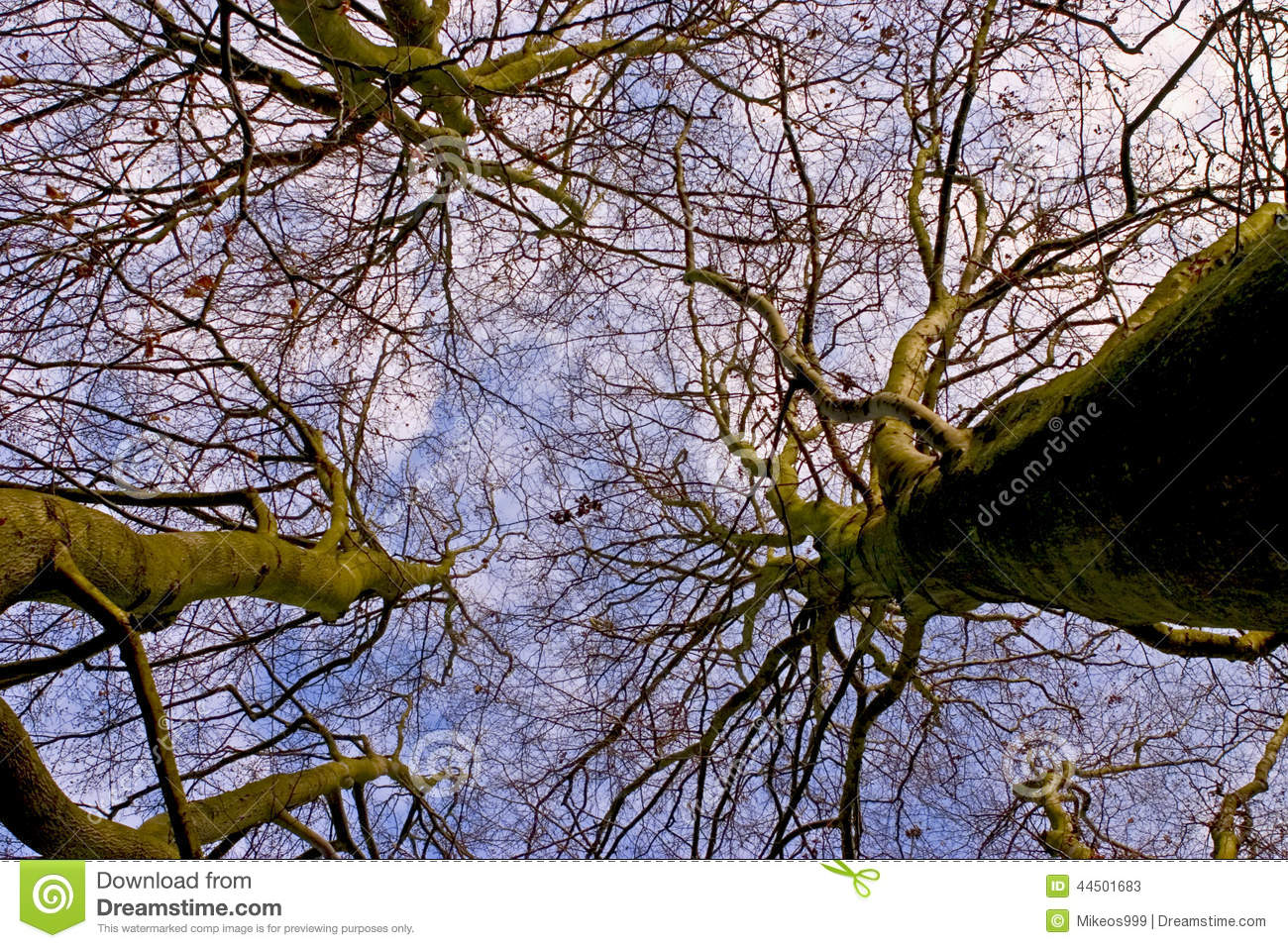 Looking up winter tree canopy & Looking Up Winter Tree Canopy Stock Image - Image of looking ...
