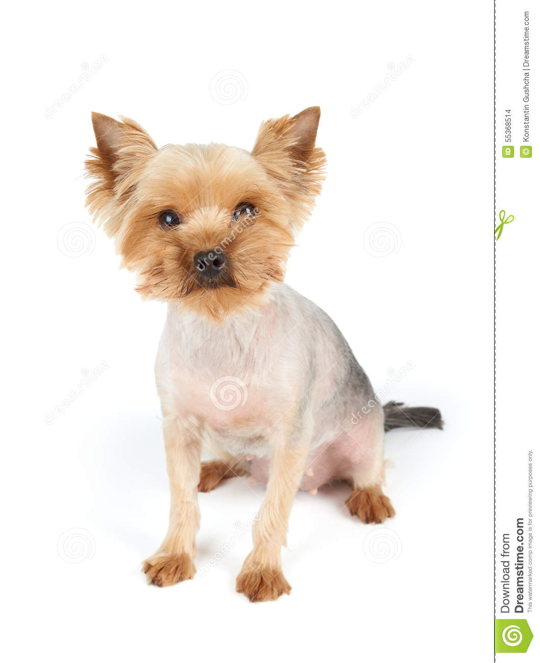 Looking At You Stock Photo Image Of Hair Groomed Yorkshire 55368514
