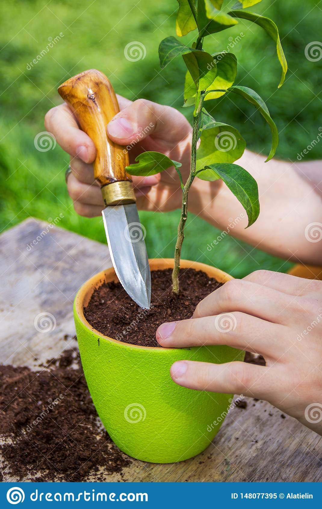 Loosen The Ground  Potted Plant Care  Plant Transplant Stock