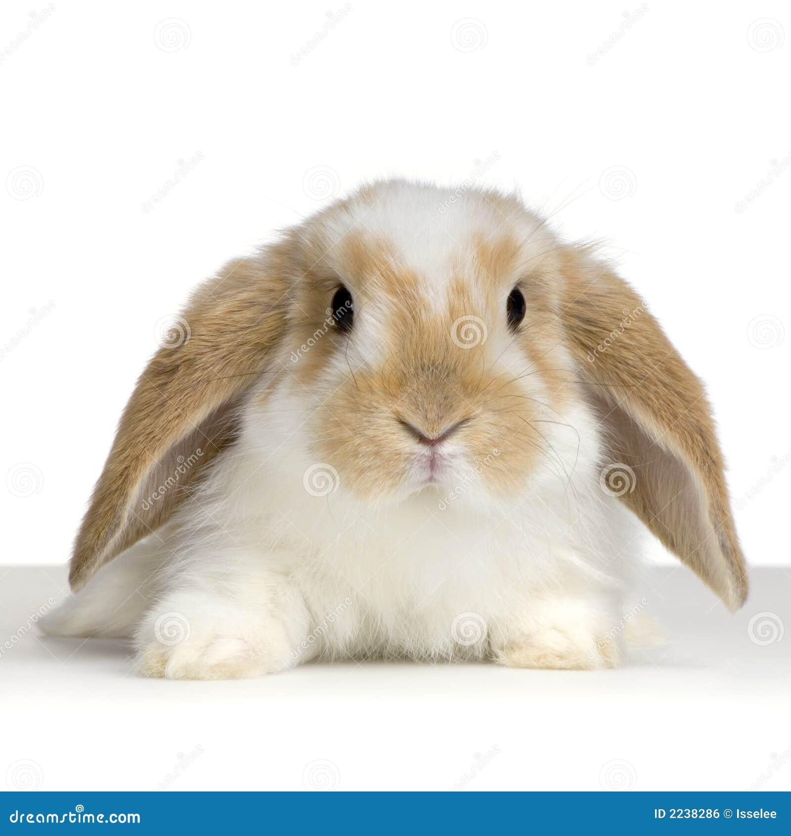 Lop кролик