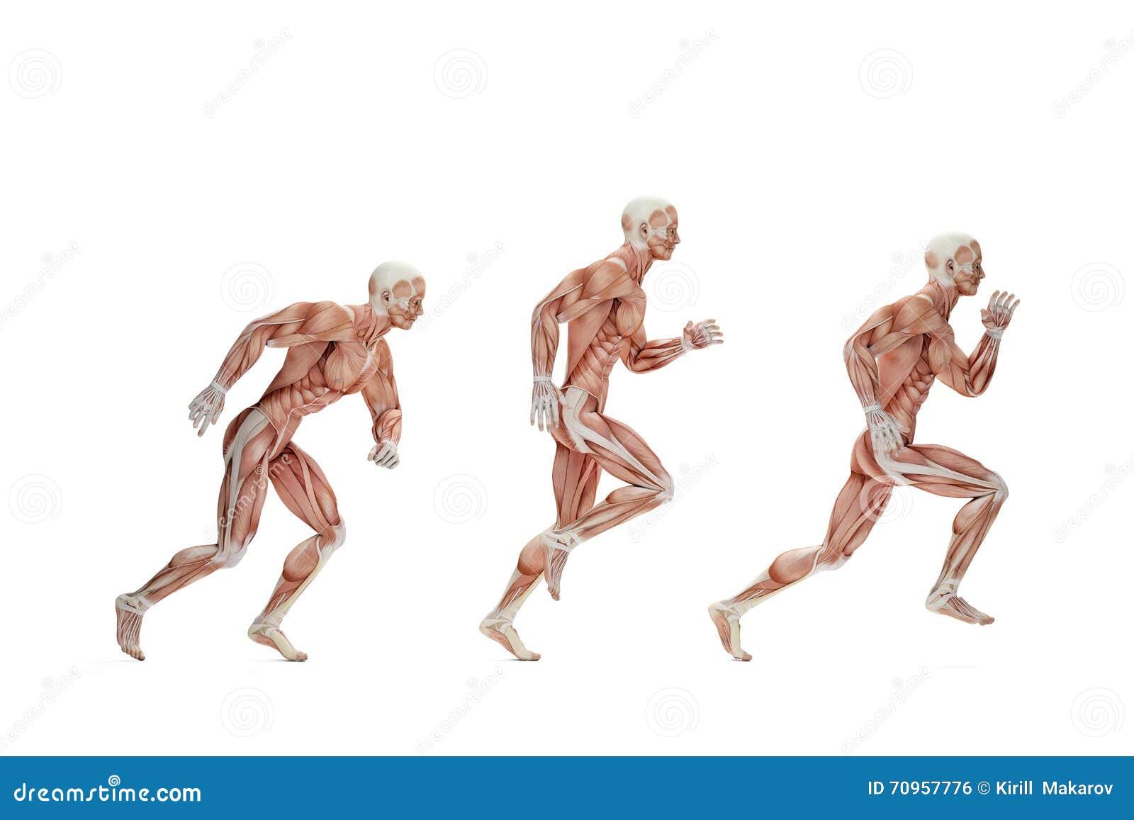 Lopende cyclus Anatomische illustratie Geïsoleerde Bevat clipp
