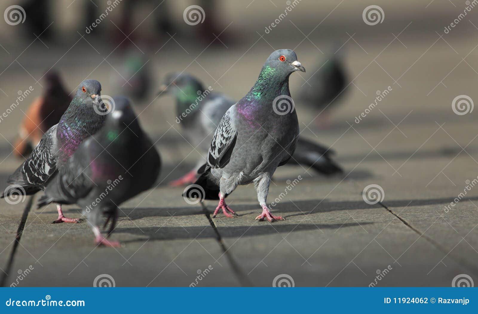 Lopende duiven