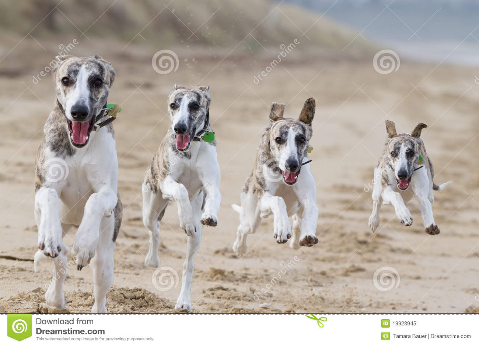 Lopende honden