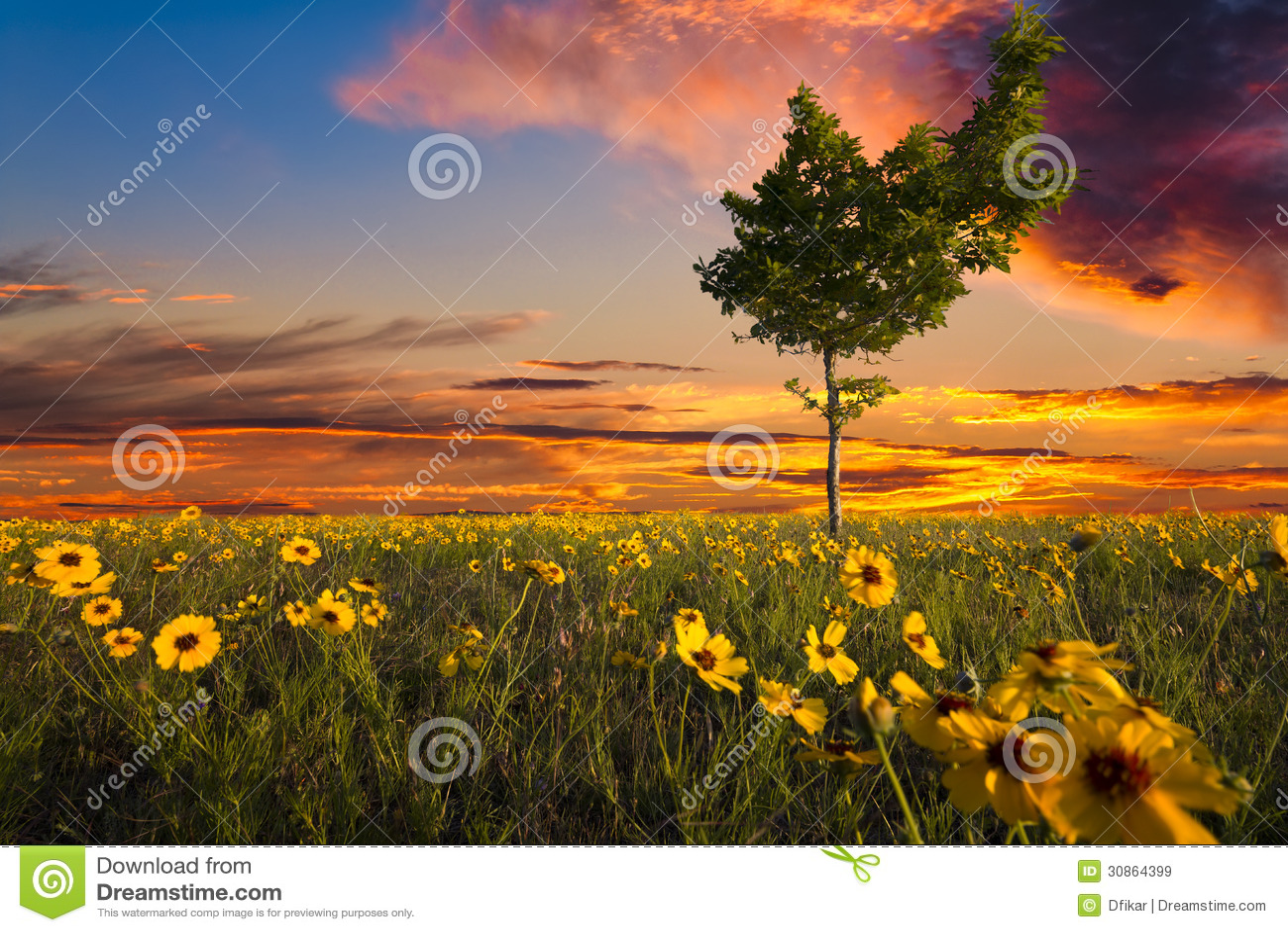 Lopsided Tree in a Sunflower Field