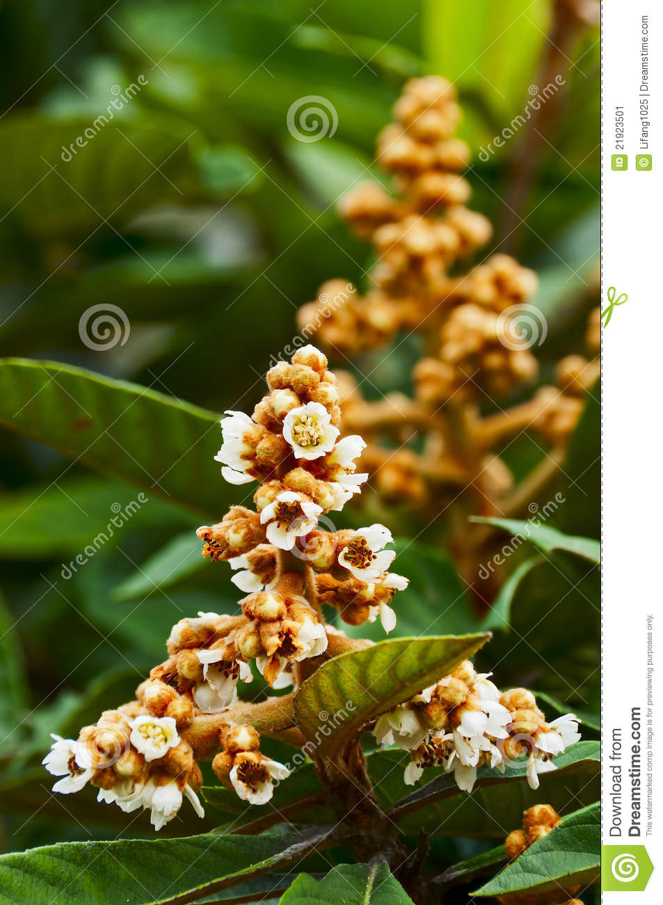 Loquat tree with flower