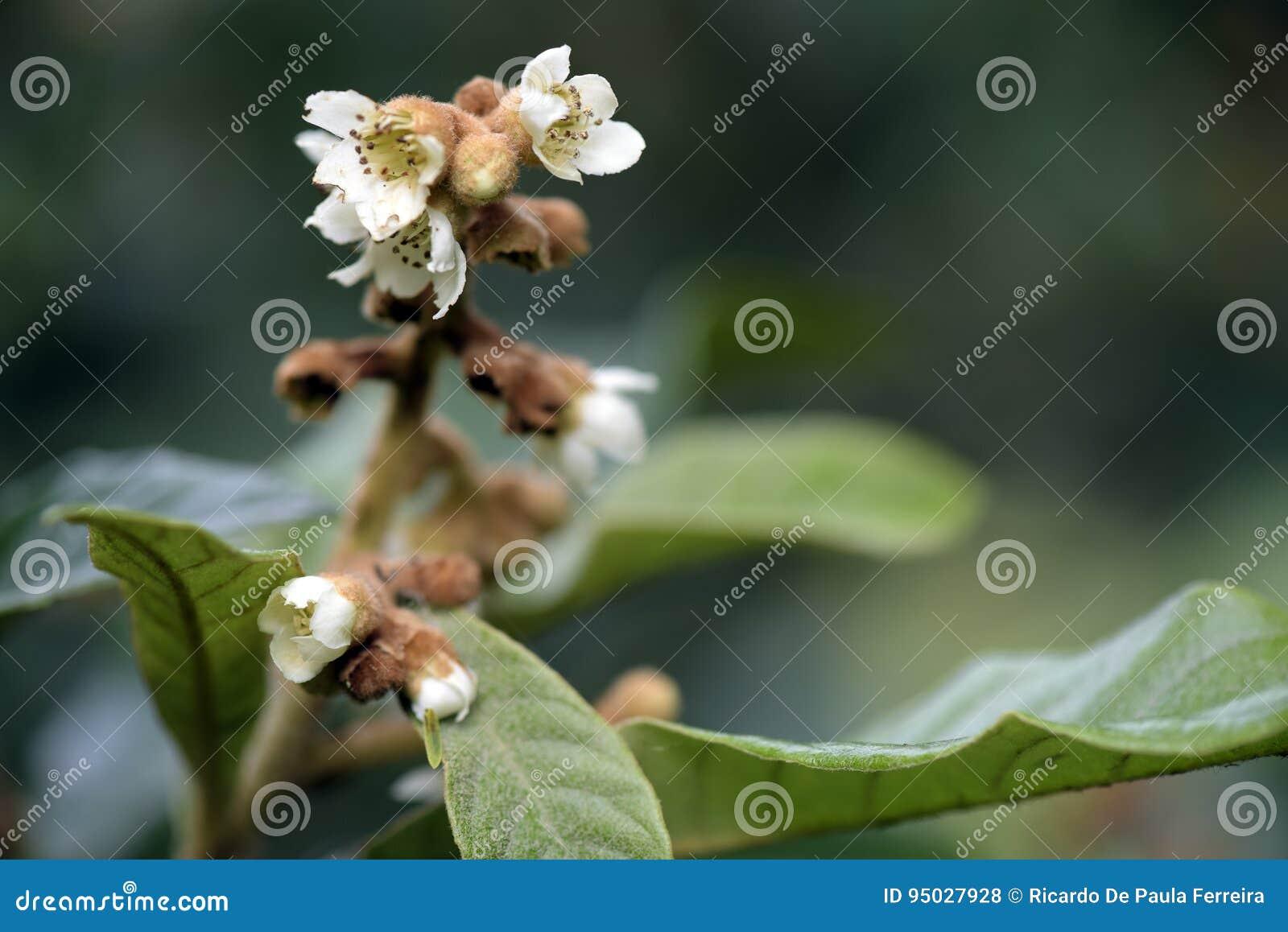 Loquatbaum in der Blüte