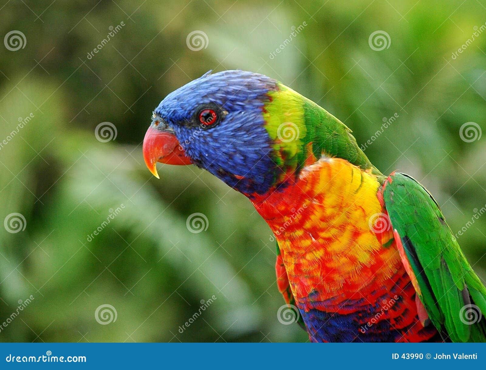 Lorikeet rainbow