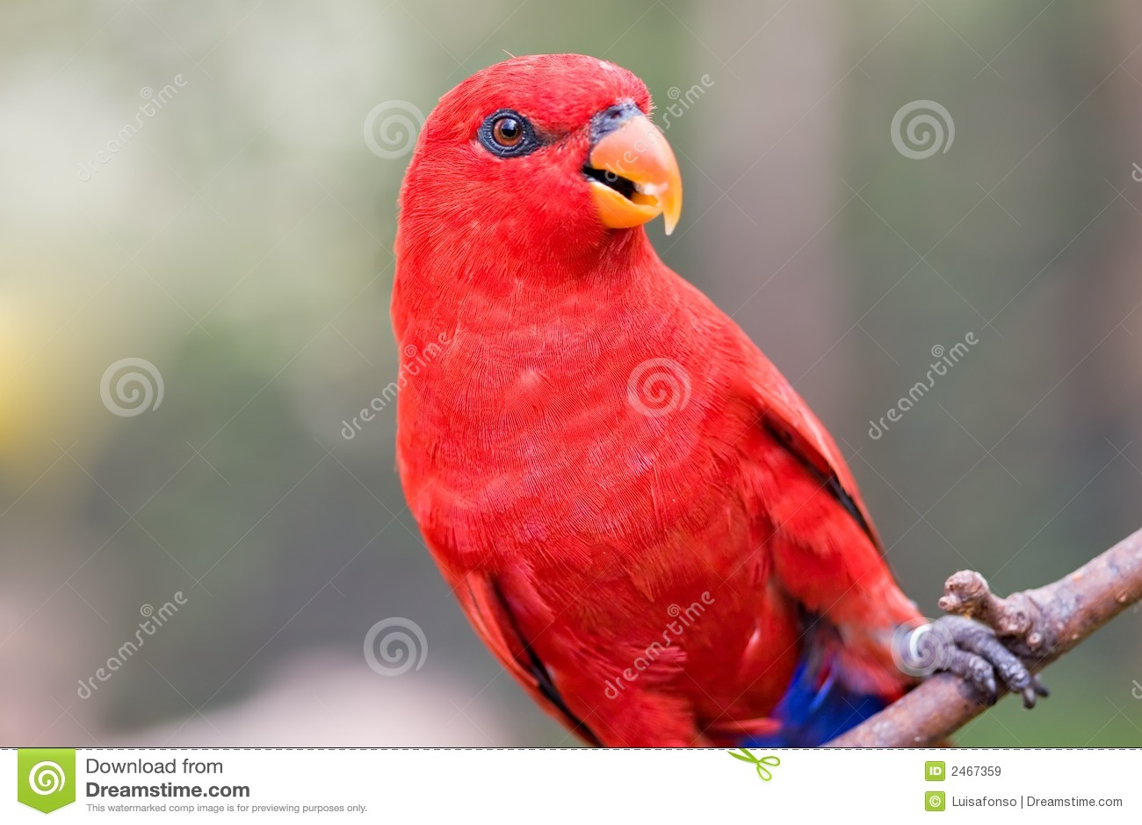 Lorikeet vermelho