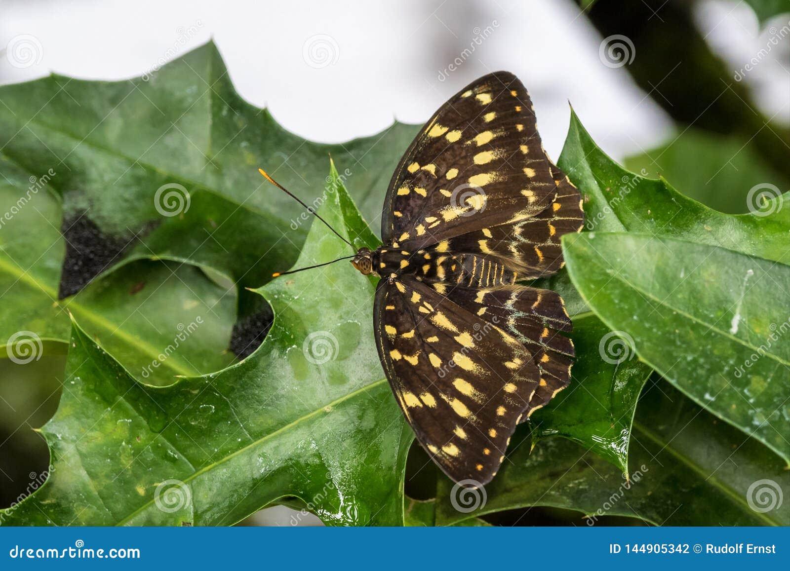 Бабочка lormieri Papilio, центральный император Swallowtail на лист