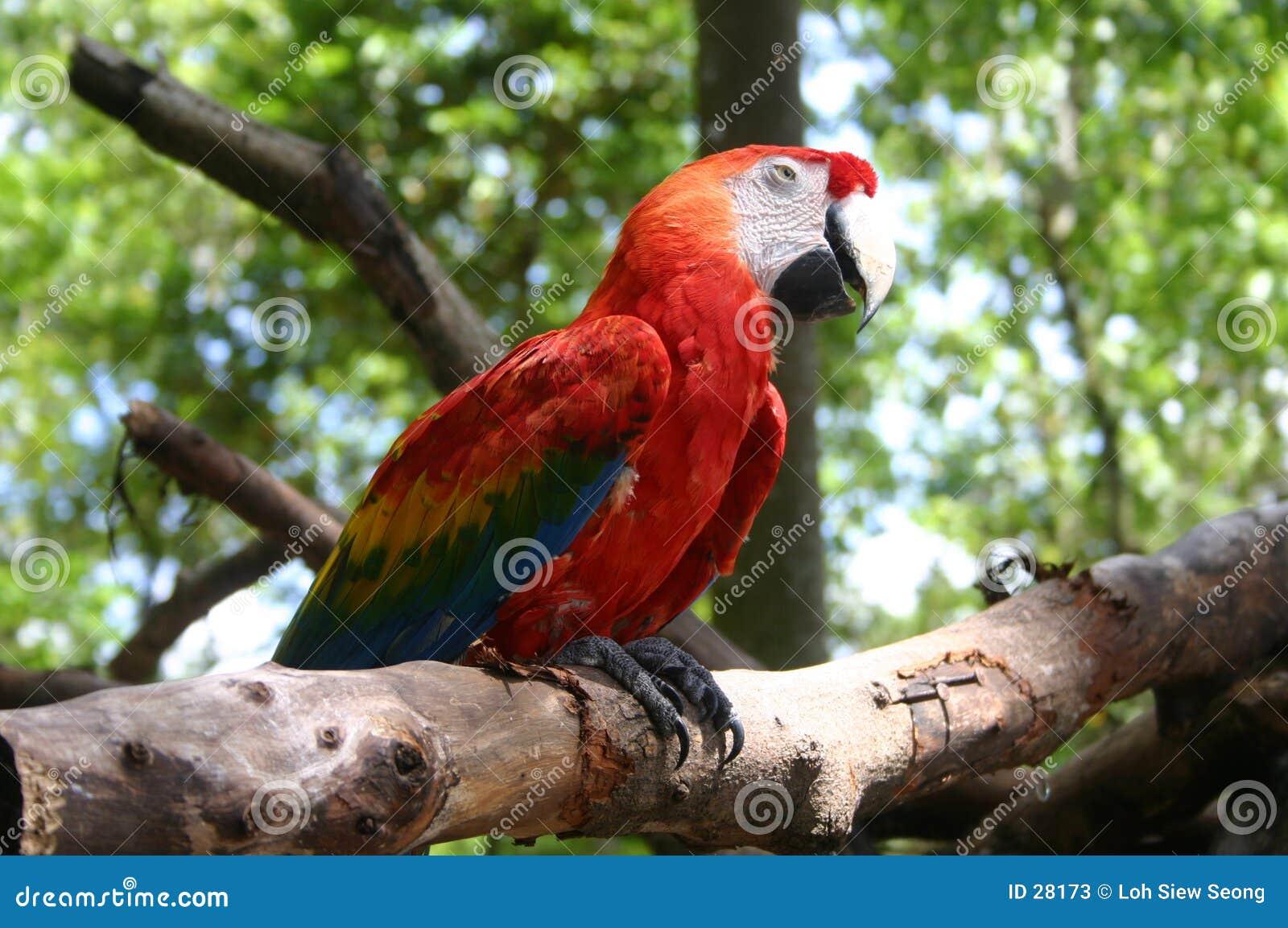 Download Loro imagen de archivo. Imagen de fauna, pico, pájaro, loro - 28173