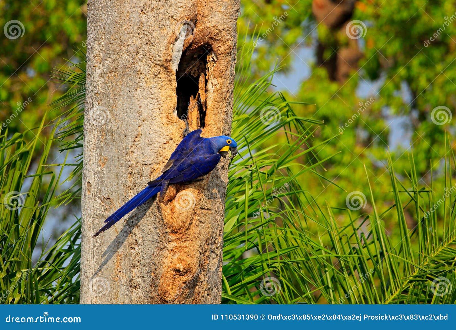 Loro azul en el loro azul grande Hyacinth Macaw, hyacinthinus del bosque tropical verde de Anodorhynchus, en cavidad de la jerarq