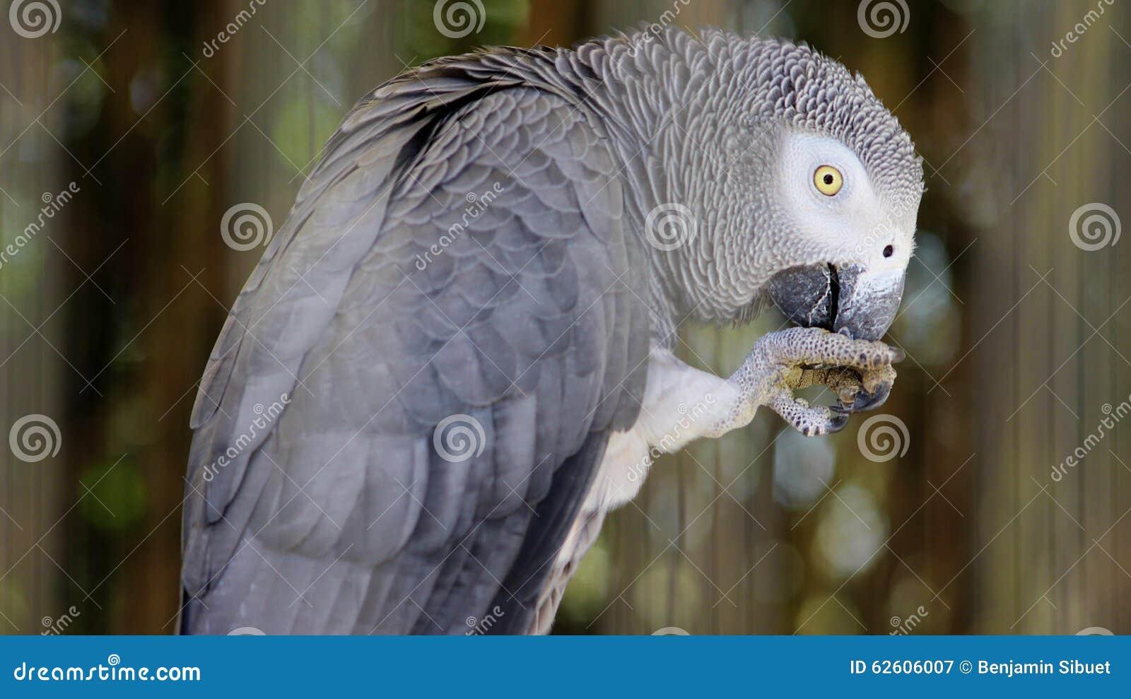 Loro del gris africano
