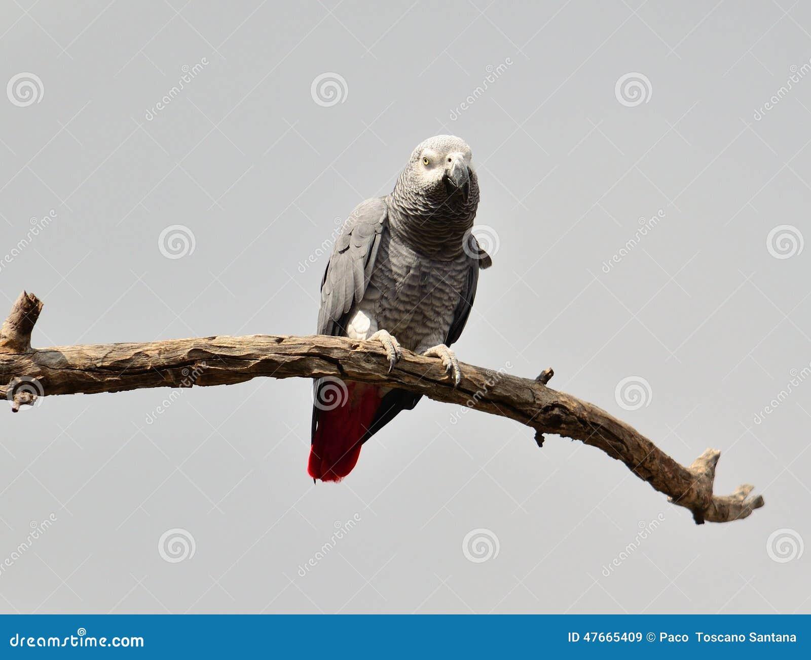 Loro del gris africano en una rama seca