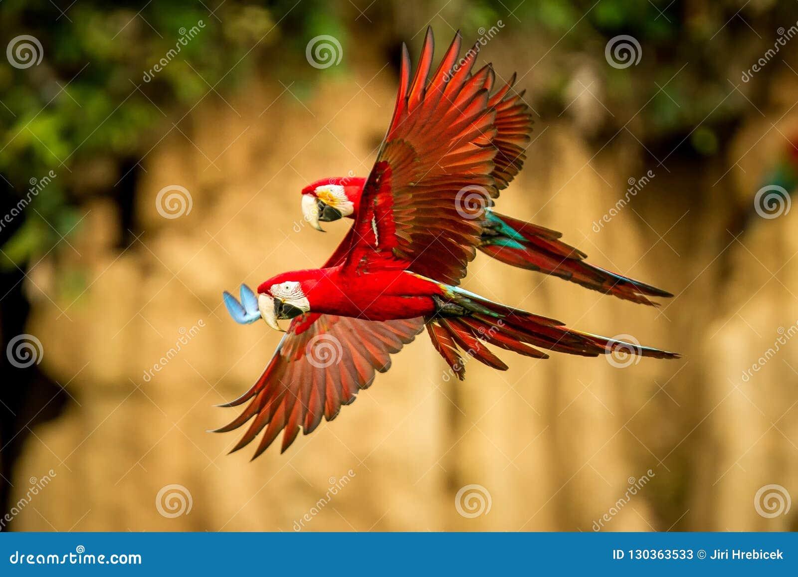 Loro rojo en vuelo Vuelo del Macaw, vegetación verde en fondo Macaw rojo y verde en bosque tropical