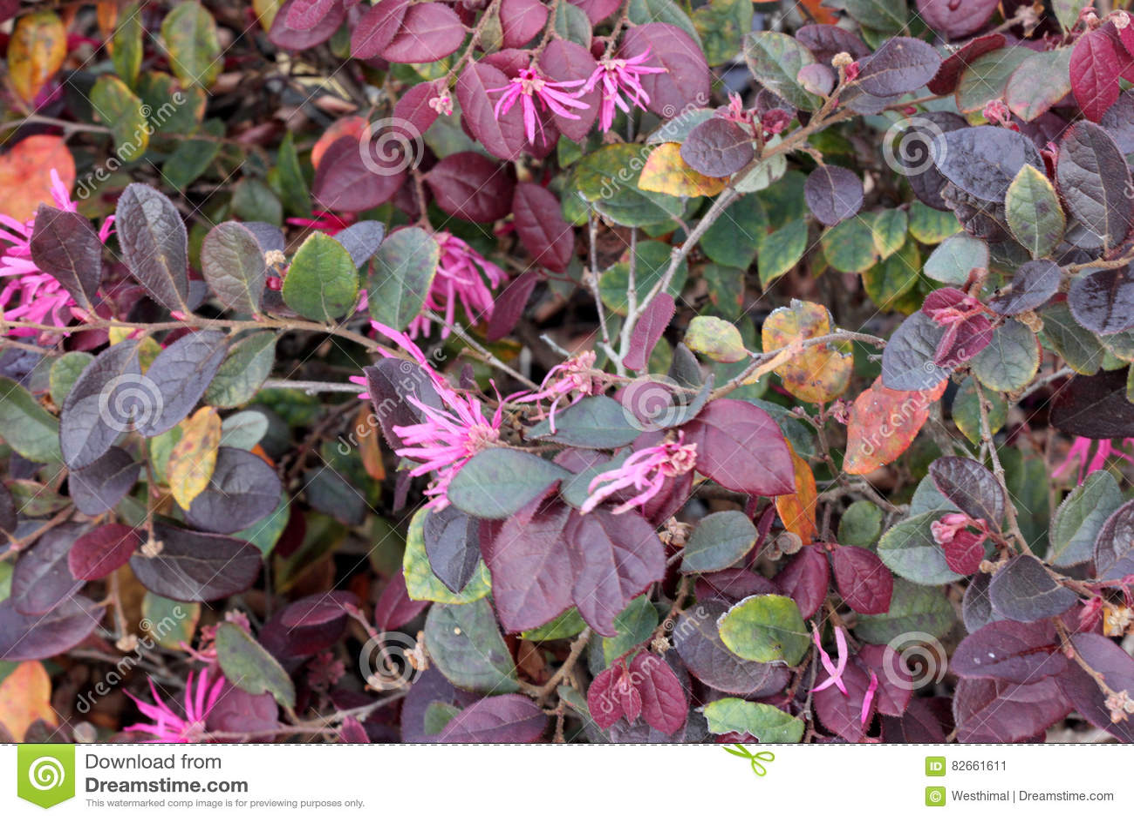 Loropetalum Chinense Rubrum Chinese Pink Pink Chinese Fringe