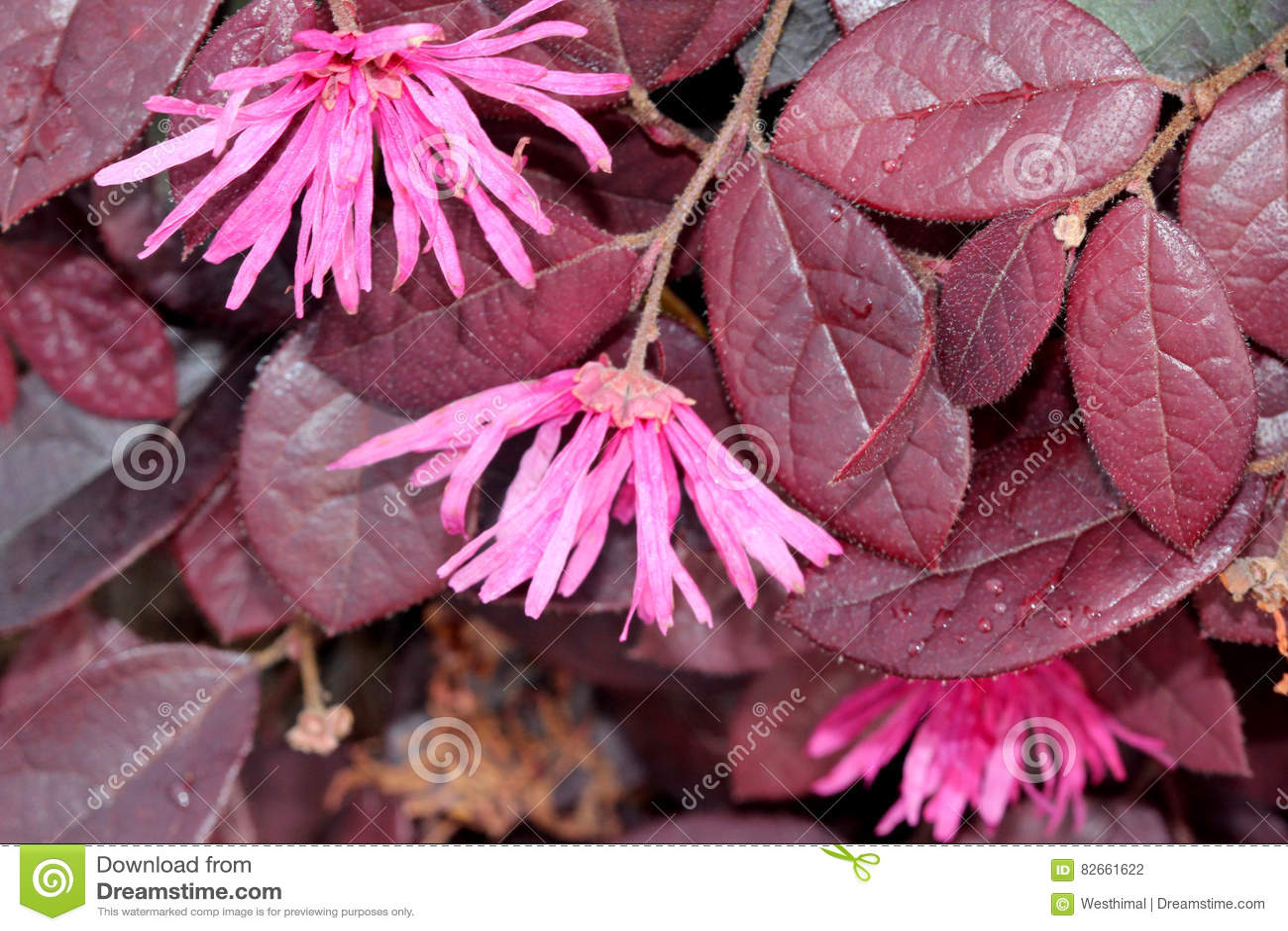 Loropetalum chinense rubrum chinese pink pink chinese fringe loropetalum chinense rubrum chinese pink pink chinese fringe flower mightylinksfo