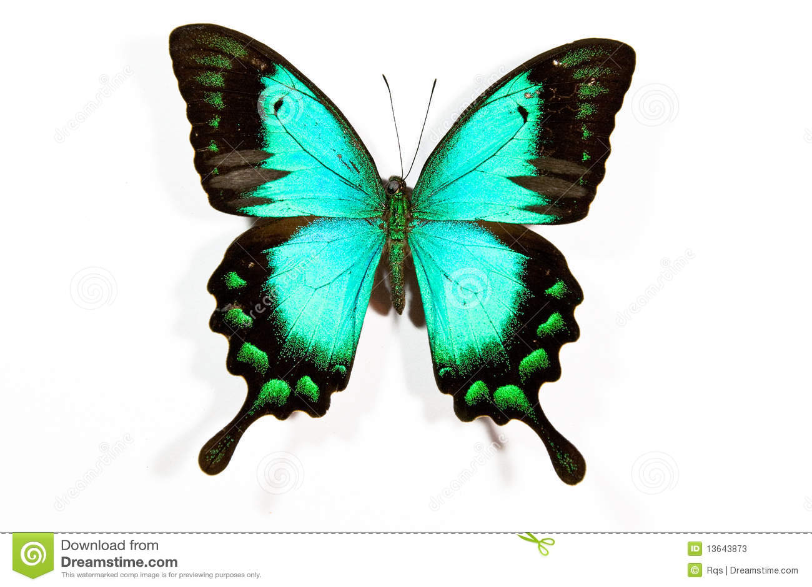 lorquinianus vert et noir de papilio de guindineau image. Black Bedroom Furniture Sets. Home Design Ideas