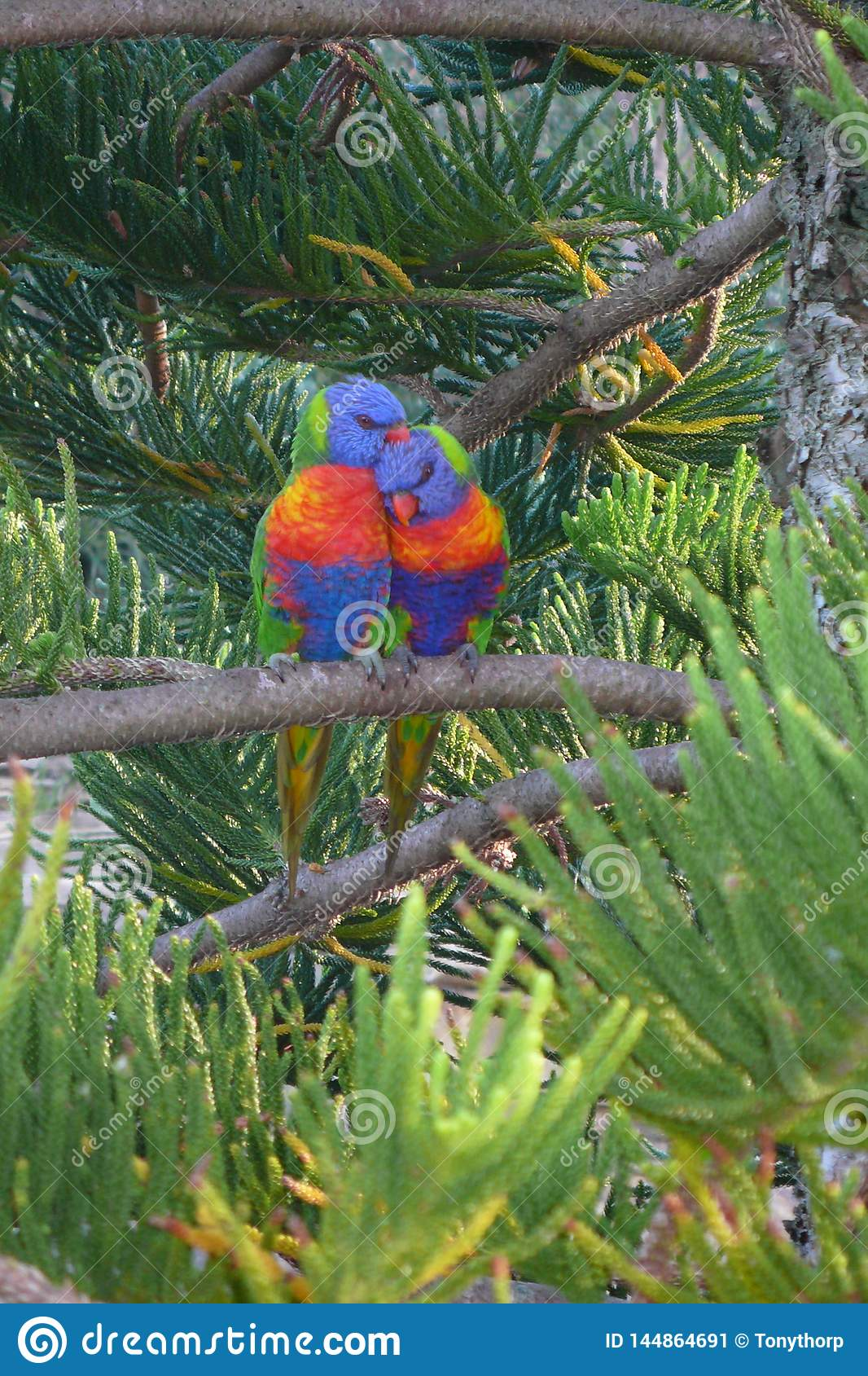 Lorrikeets together in the Norfolk Pine