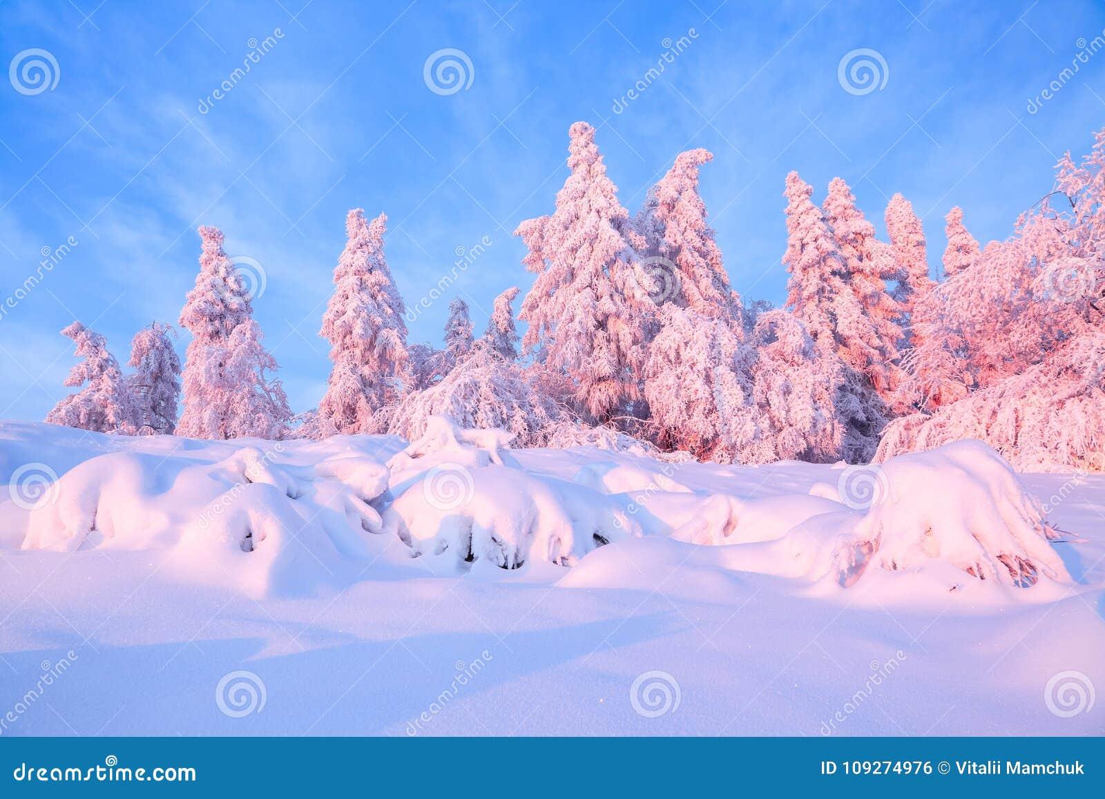 Los árboles torcidos agradables cubiertos con capa gruesa de la nieve aclaran puesta del sol coloreada color de rosa en día de in