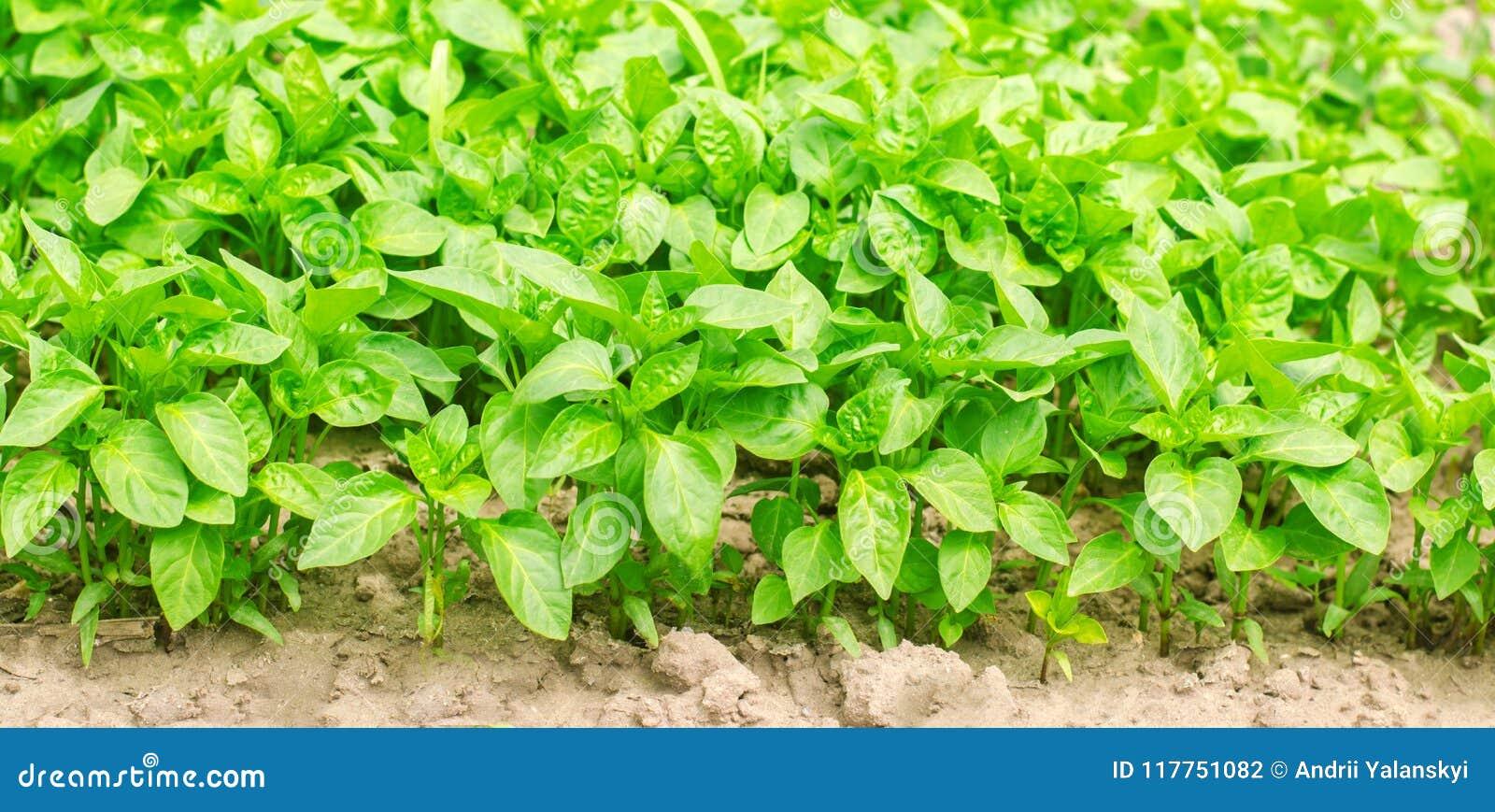 Los almácigos de la pimienta verde en el invernadero, alistan para el trasplante en el campo, cultivando, agricultura, verduras,