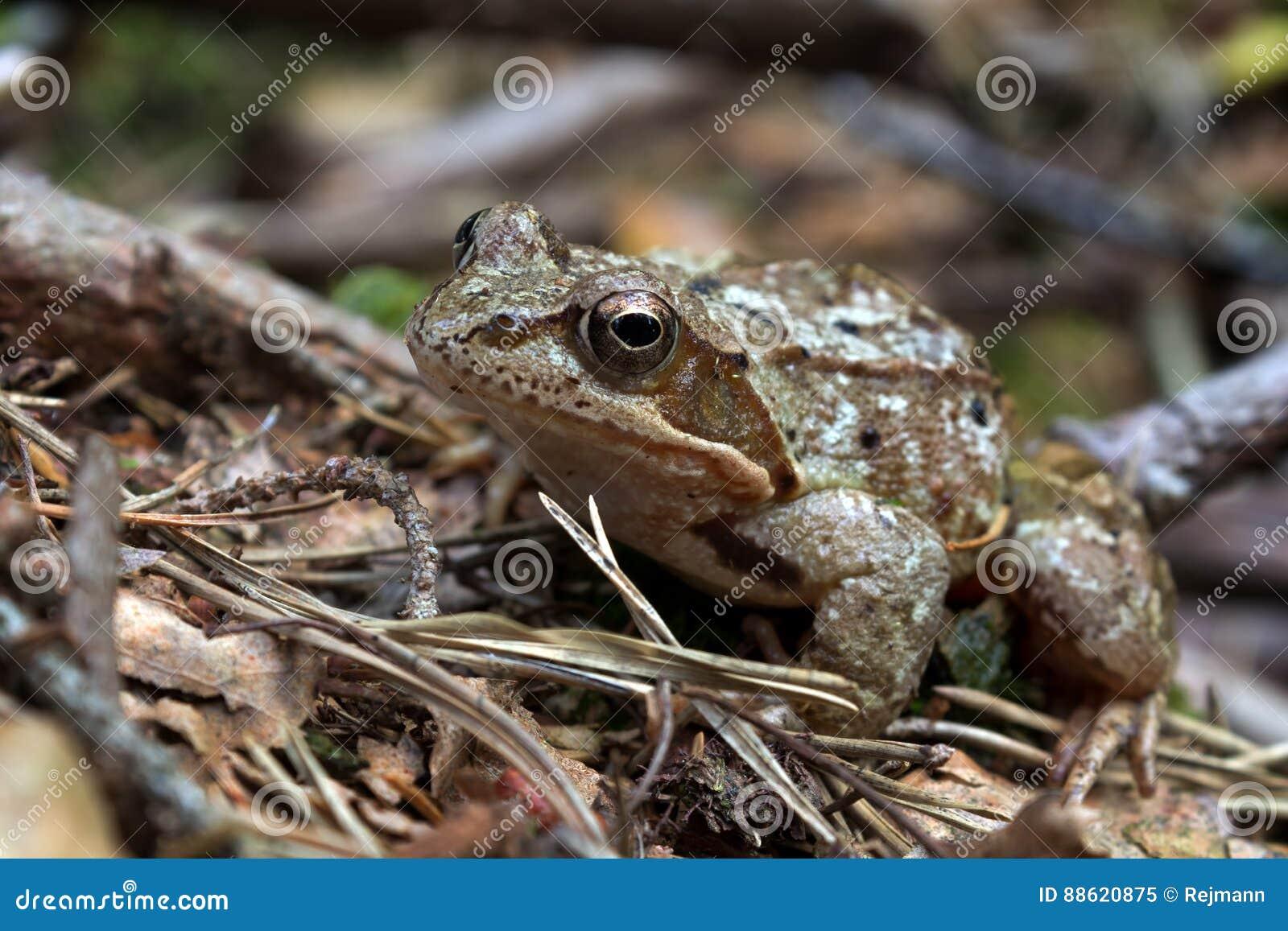 Los arvalis del Rana - amarre la rana