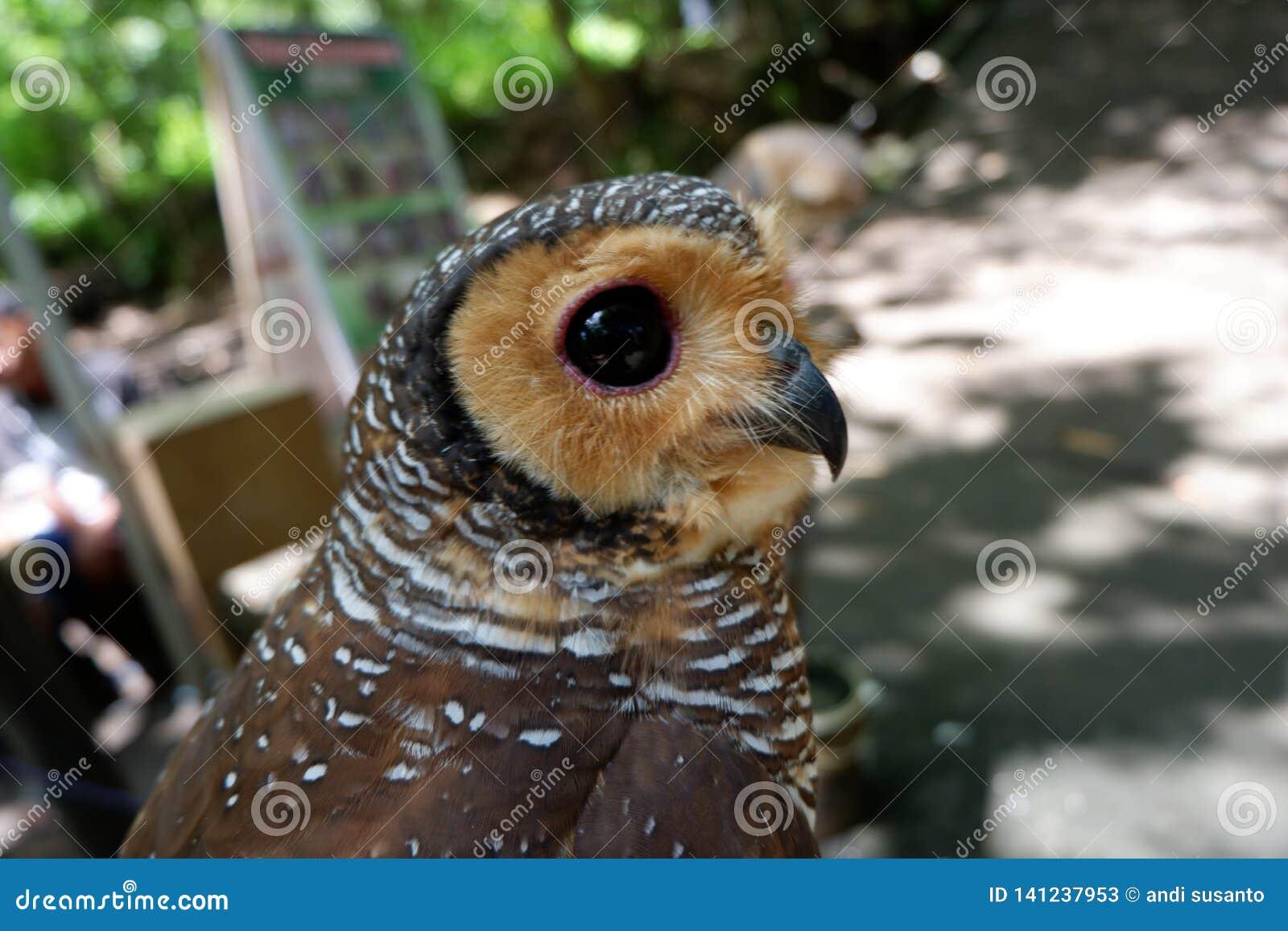 Los búhos son raros con los ojos hermosos que viven en el salvaje