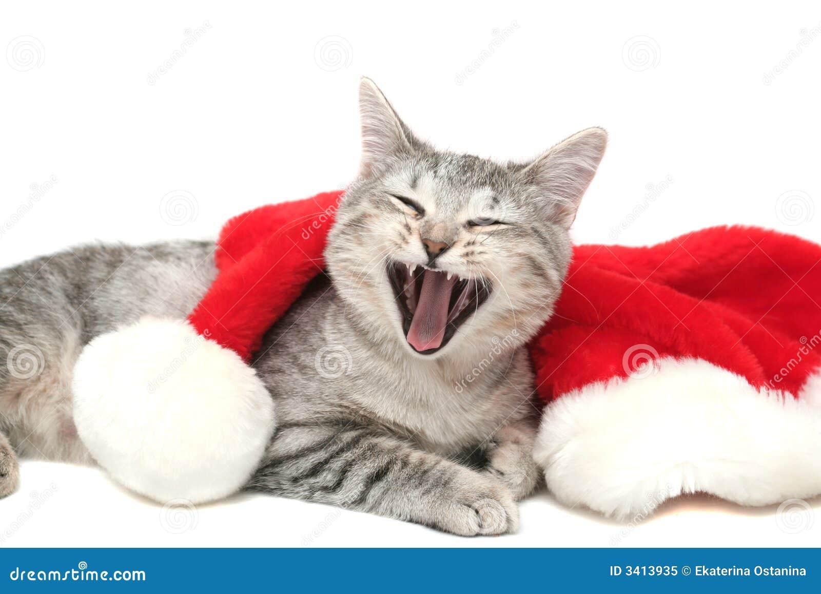 Los bostezos grises del gato