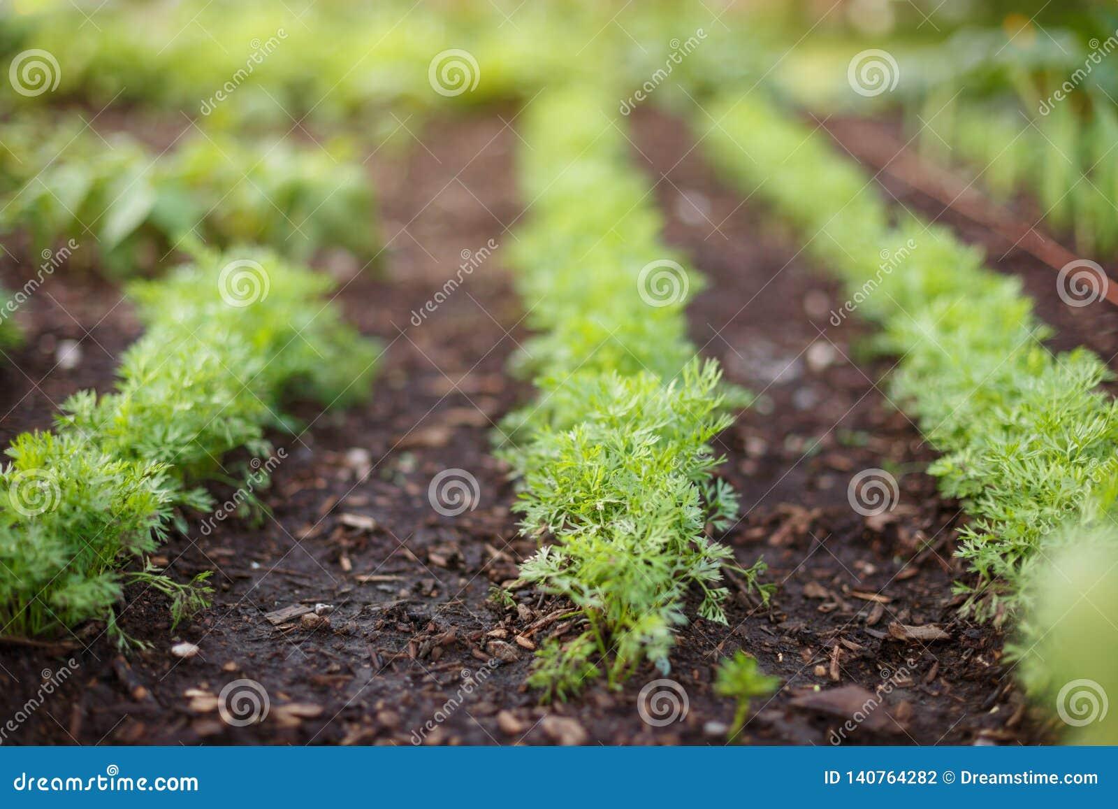 Los brotes de zanahorias jovenes crecen en una cama del jardín