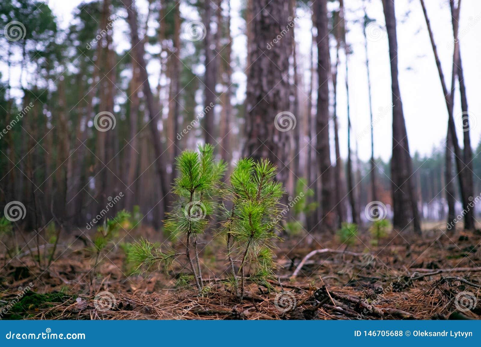 Los brotes del pino hacen su manera al sol entre las agujas caidas