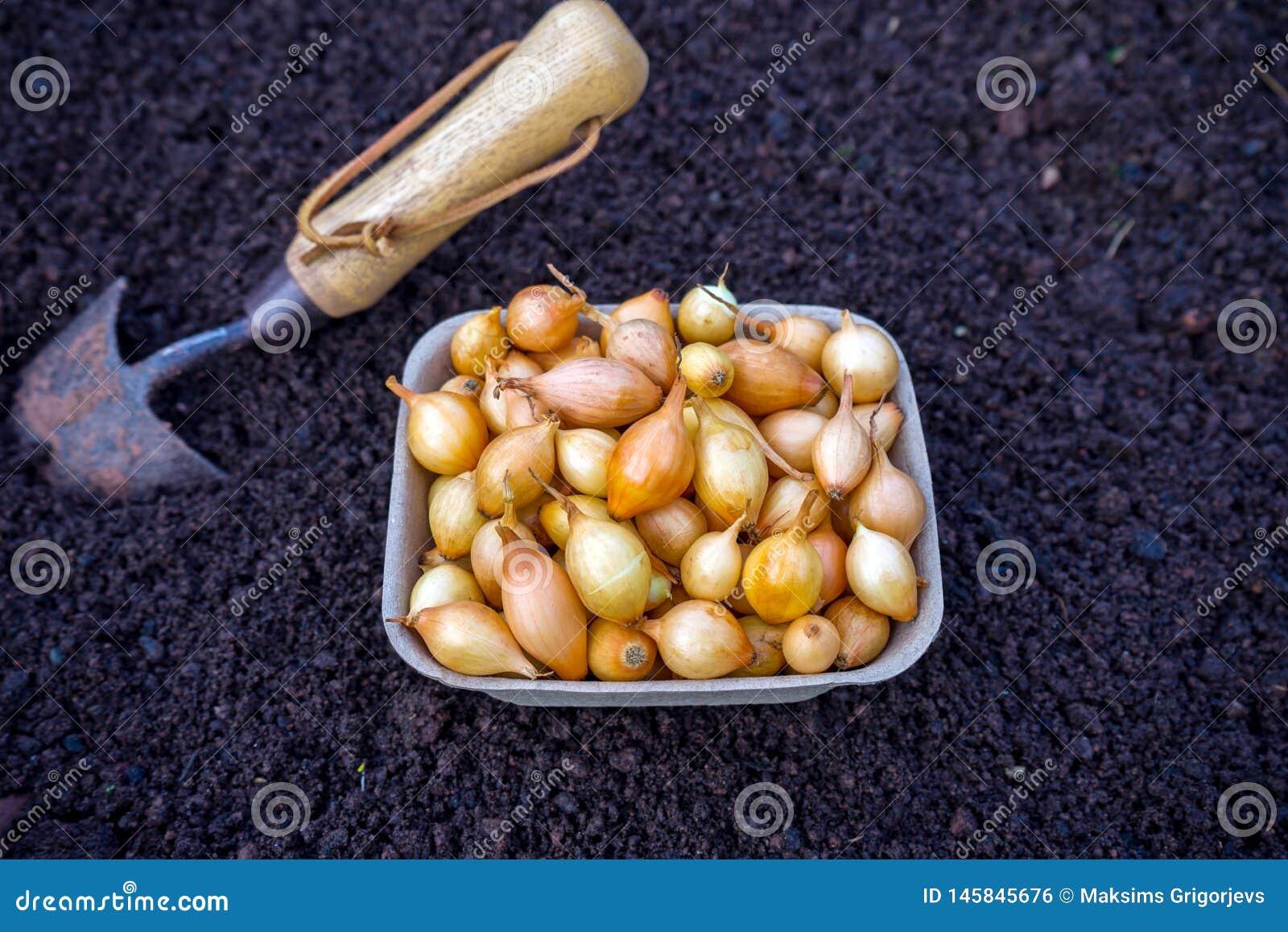 Los bulbos de la cebolla alistan para sembrar en suelo con la pala, material vegetal Fondo vegetal