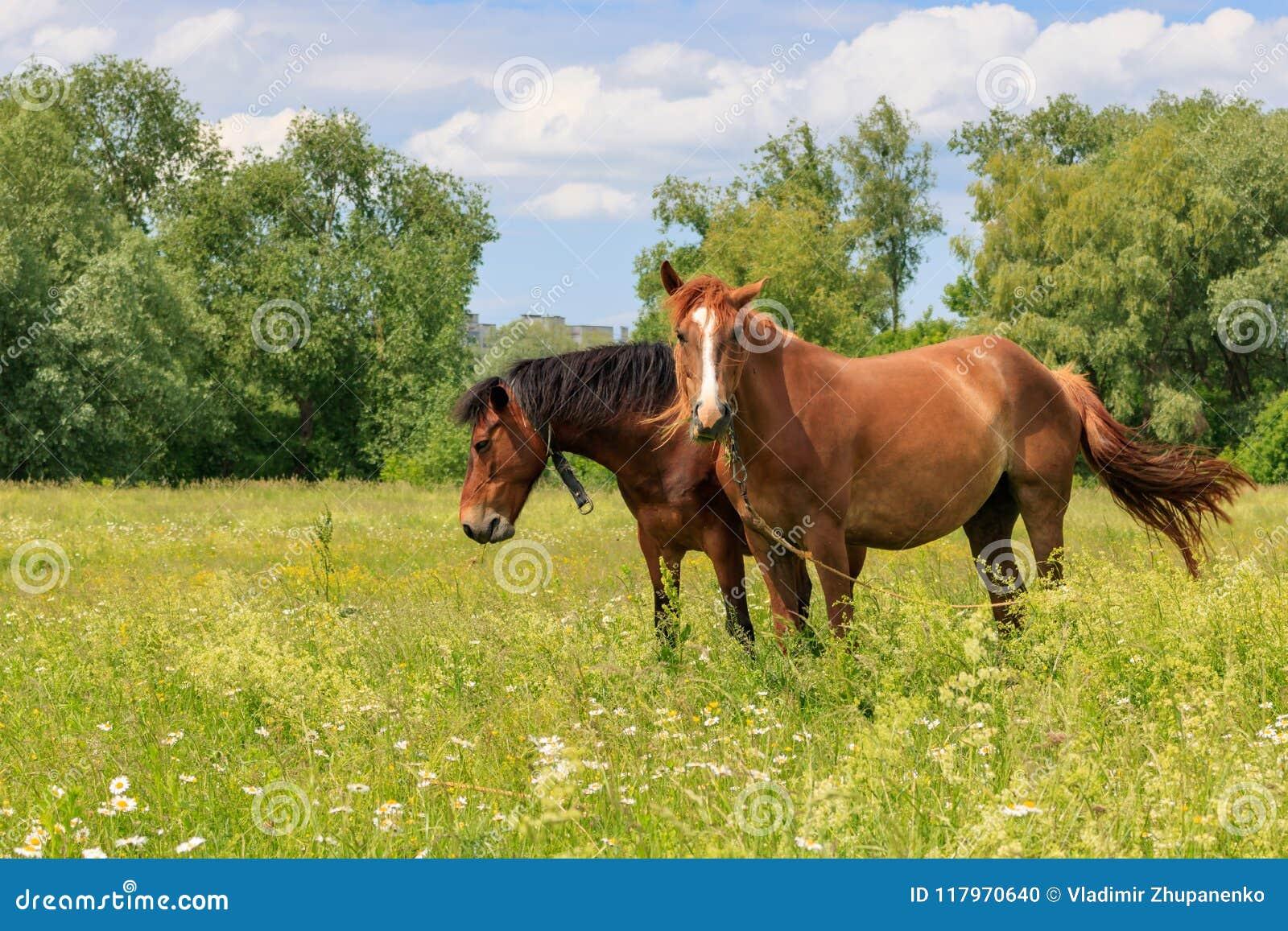 Los caballos de Brown se colocan en hierba verde de un prado en un día de verano soleado
