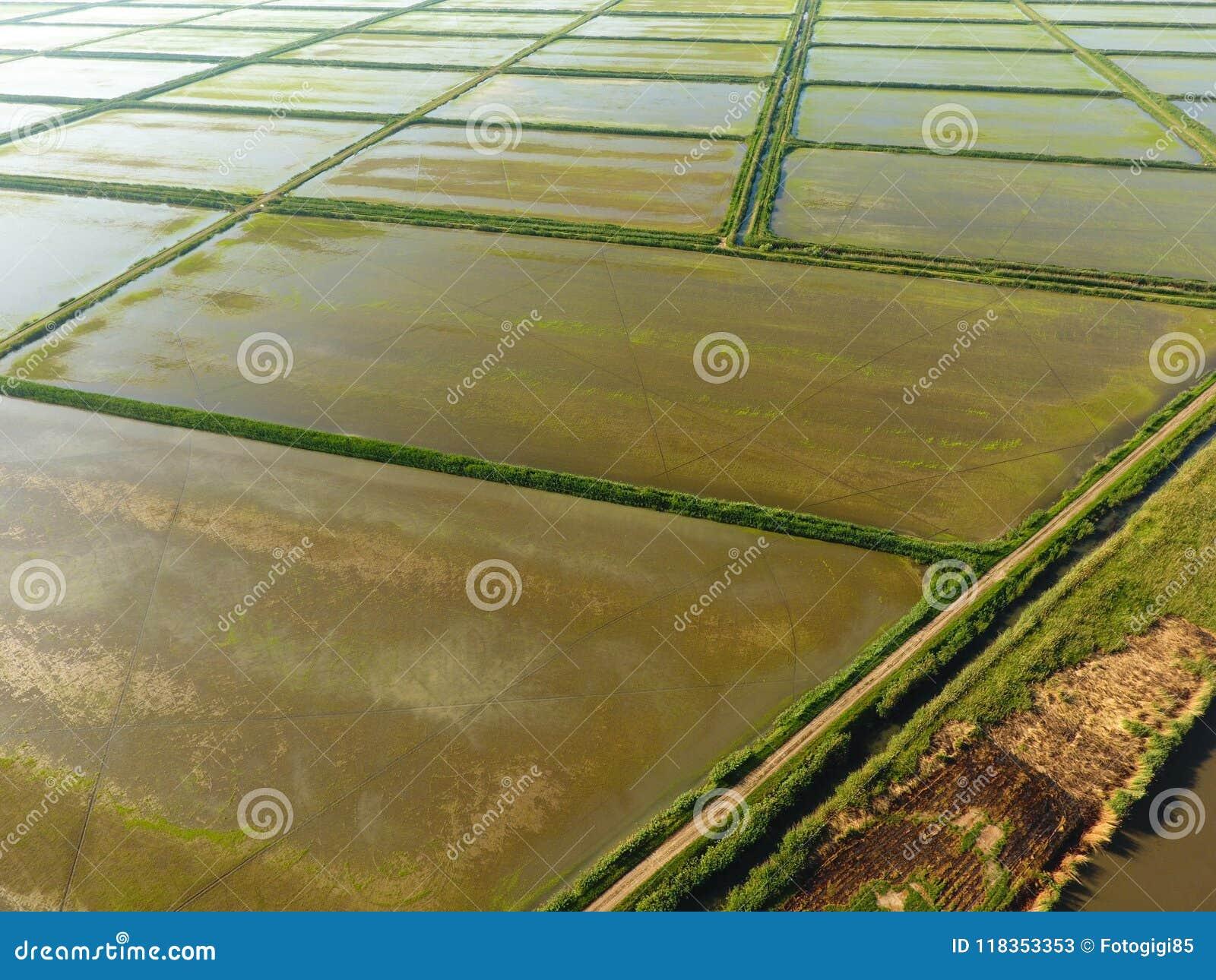 Los campos del arroz se inundan con agua Arroces de arroz inundados Métodos agronómicos de producir el arroz en los campos