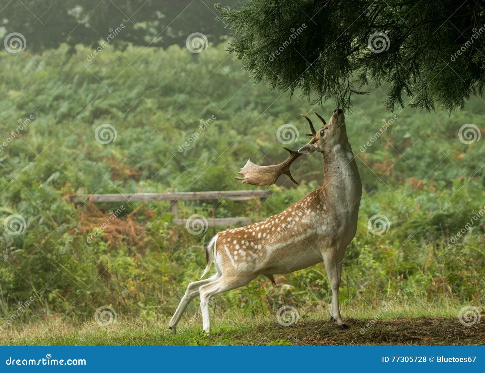 Los ciervos en barbecho que alcanzan hasta comen el árbol