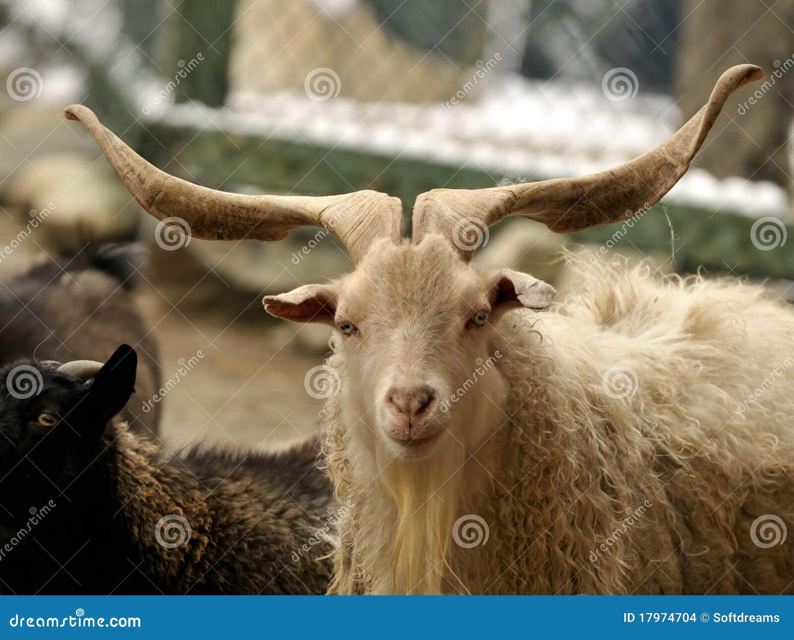 Los claxones de la cabra son largos y hermosos