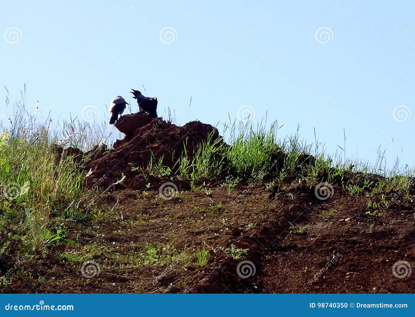 Los cuervos se sientan en la tierra