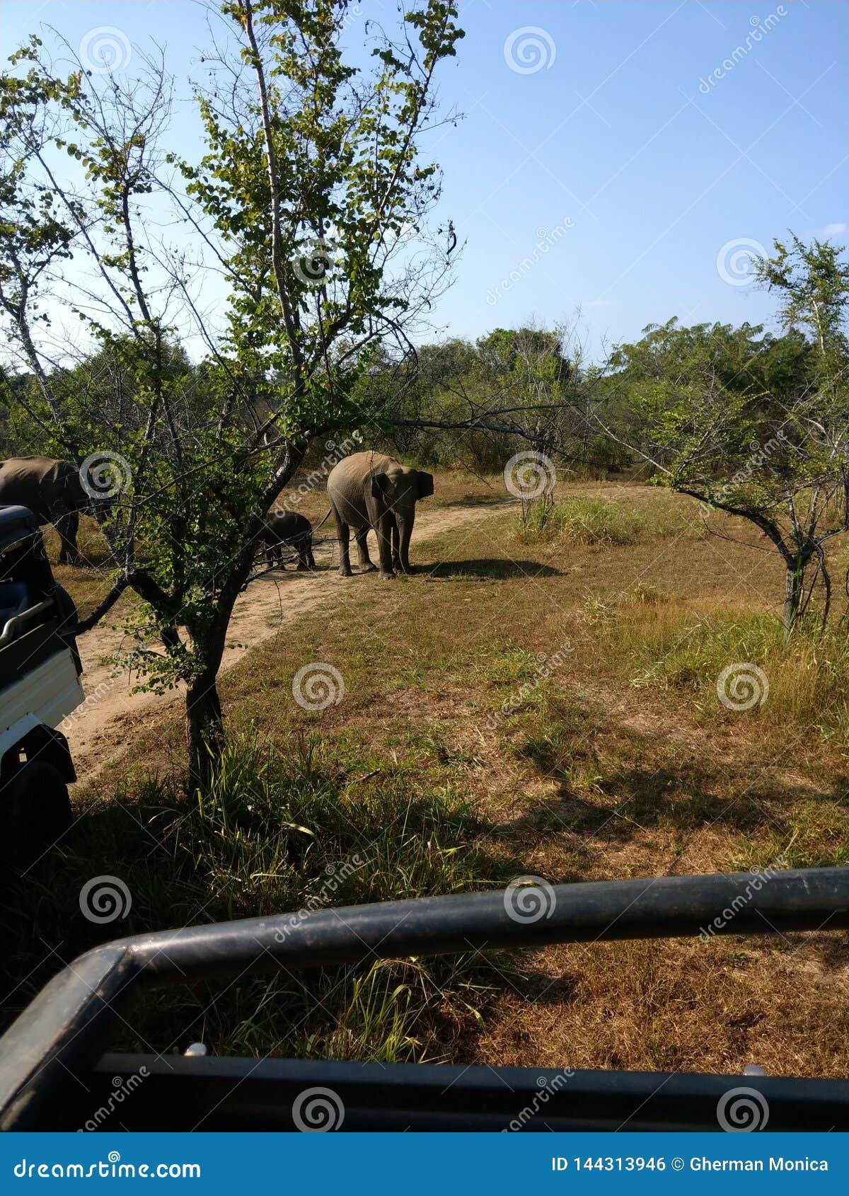 Los elefantes del safari montan