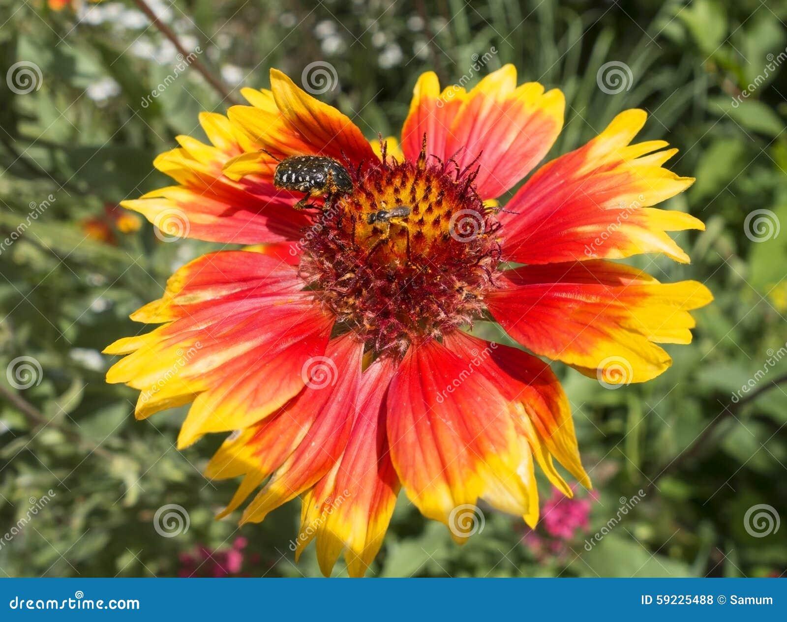 Download Los Escarabajos Se Sientan En Una Flor Foto de archivo - Imagen de shell, fondo: 59225488