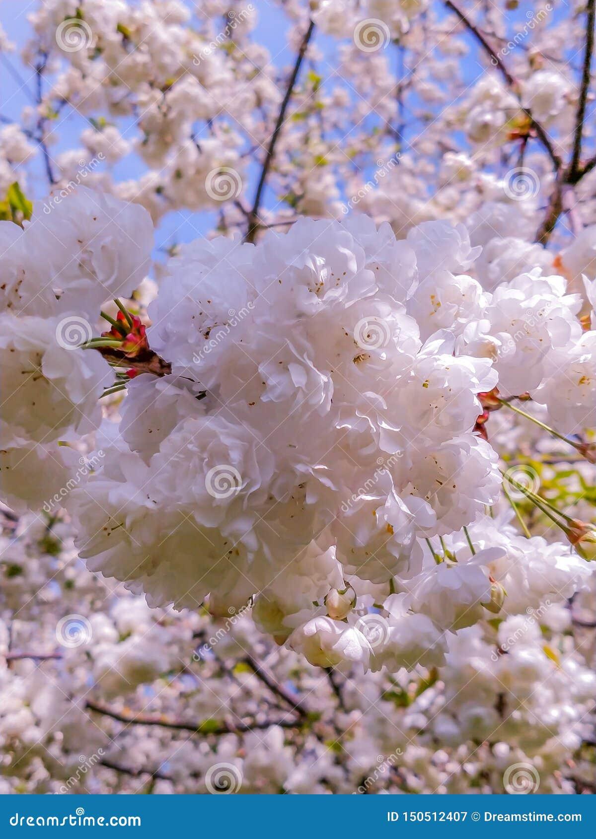 Los flores de Sakura en la salida del sol